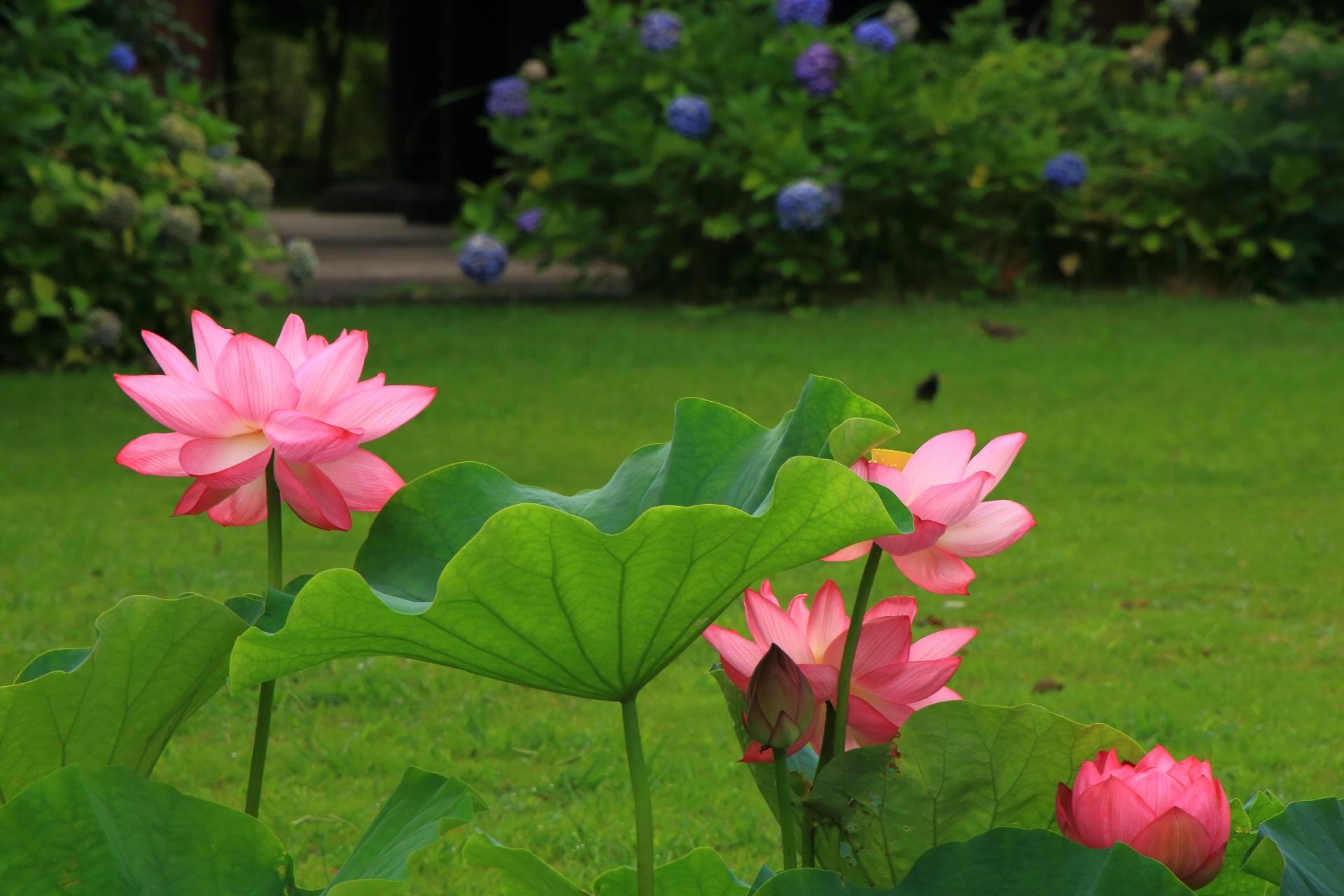 緑の芝生を背景にピンクの花が咲き誇る東寺の宝蔵前の蓮