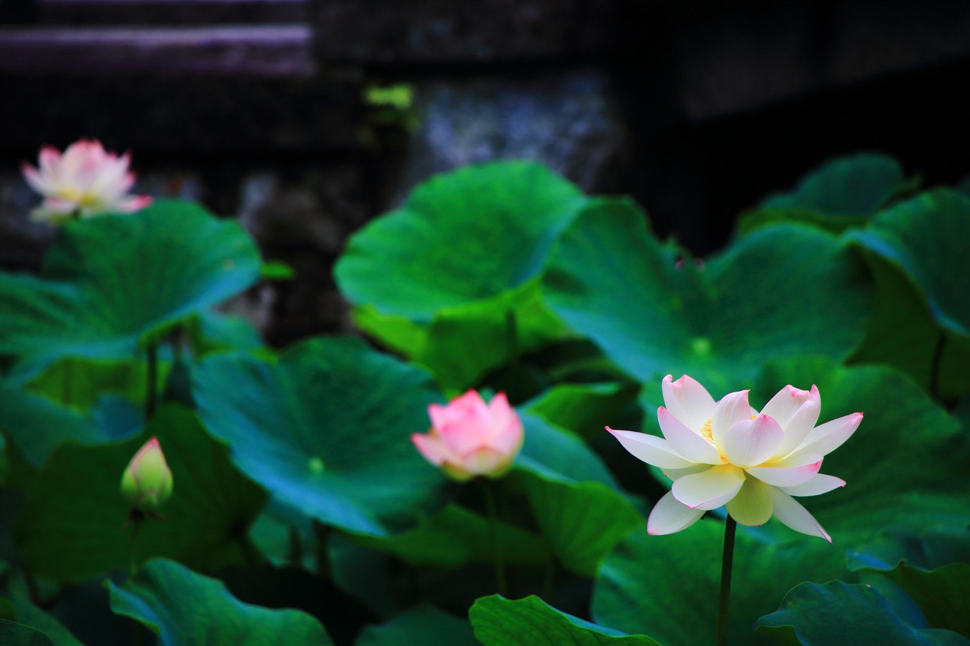 知恩院のふわふわした感じの幻想的な蓮の花