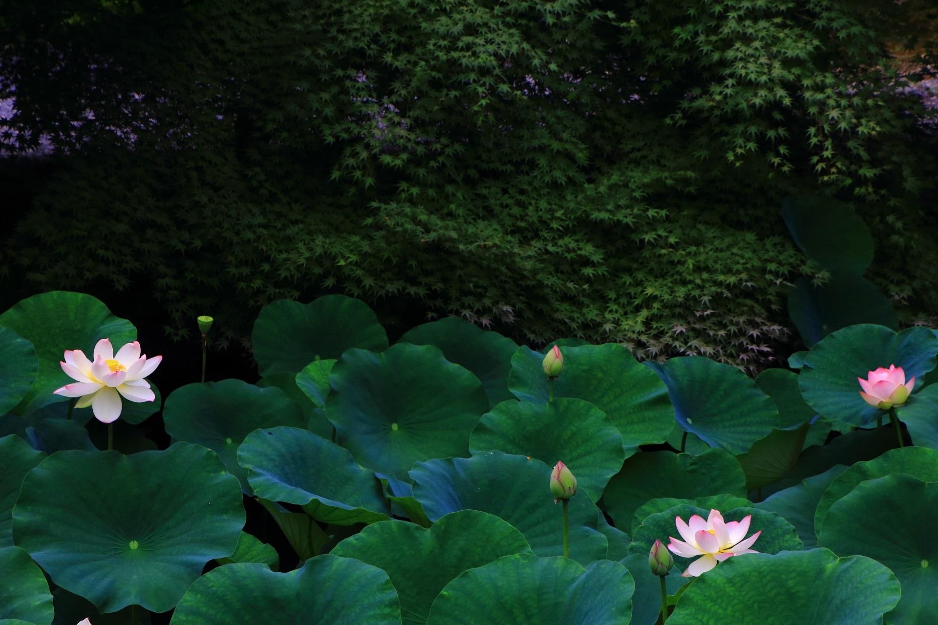 蓮の知名度はあまり高くない有名なお寺の知恩院(ちおんいん)