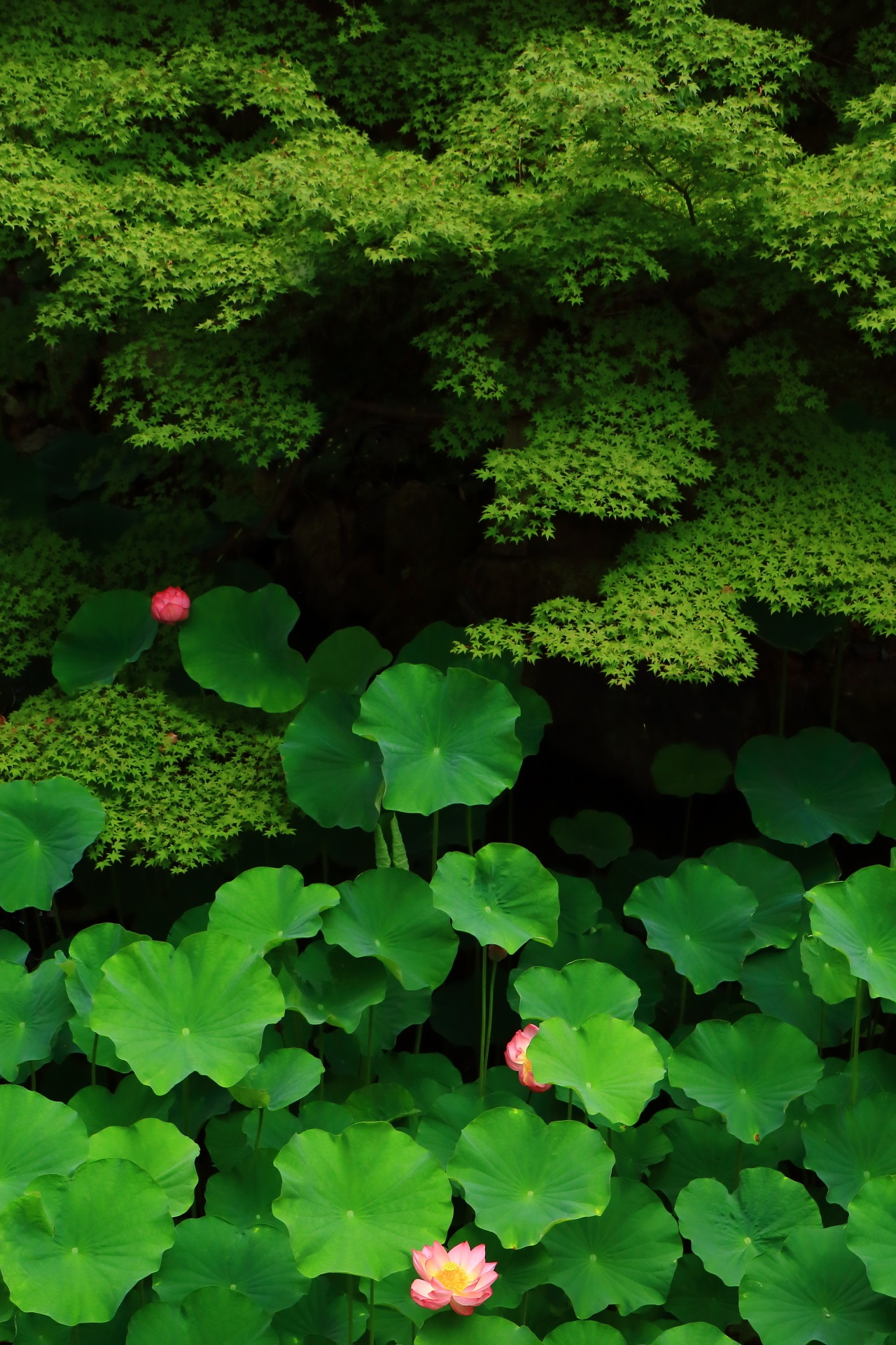 Gorgeous lotus flowers blooming in the green of the blue maple of Otani-Honbyo-Mausoleum in Kyoto,Japan