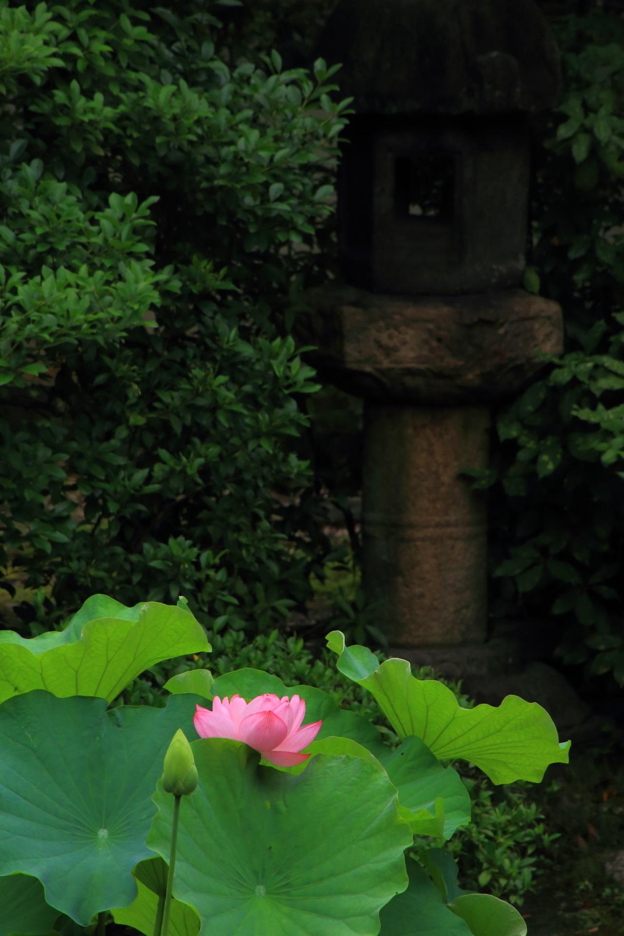 本法寺の巴の庭の燈籠と華やかなピンクのハスの花