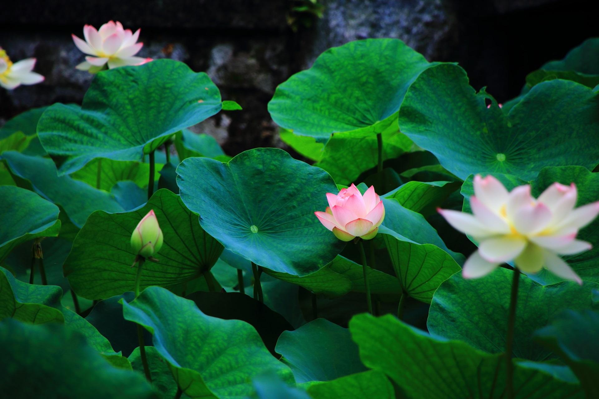 知恩院の鮮やかな緑に映える華やかな蓮の花