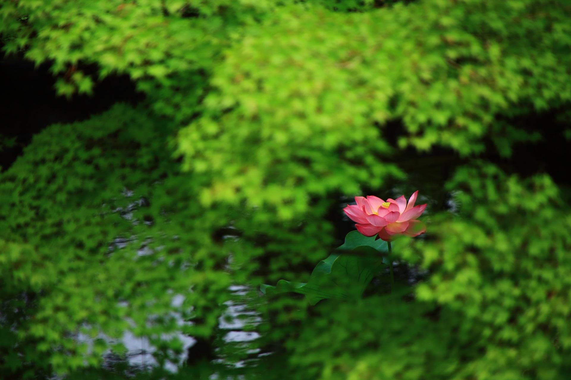 青もみじの間に咲く美しすぎる蓮の花と煌く水面