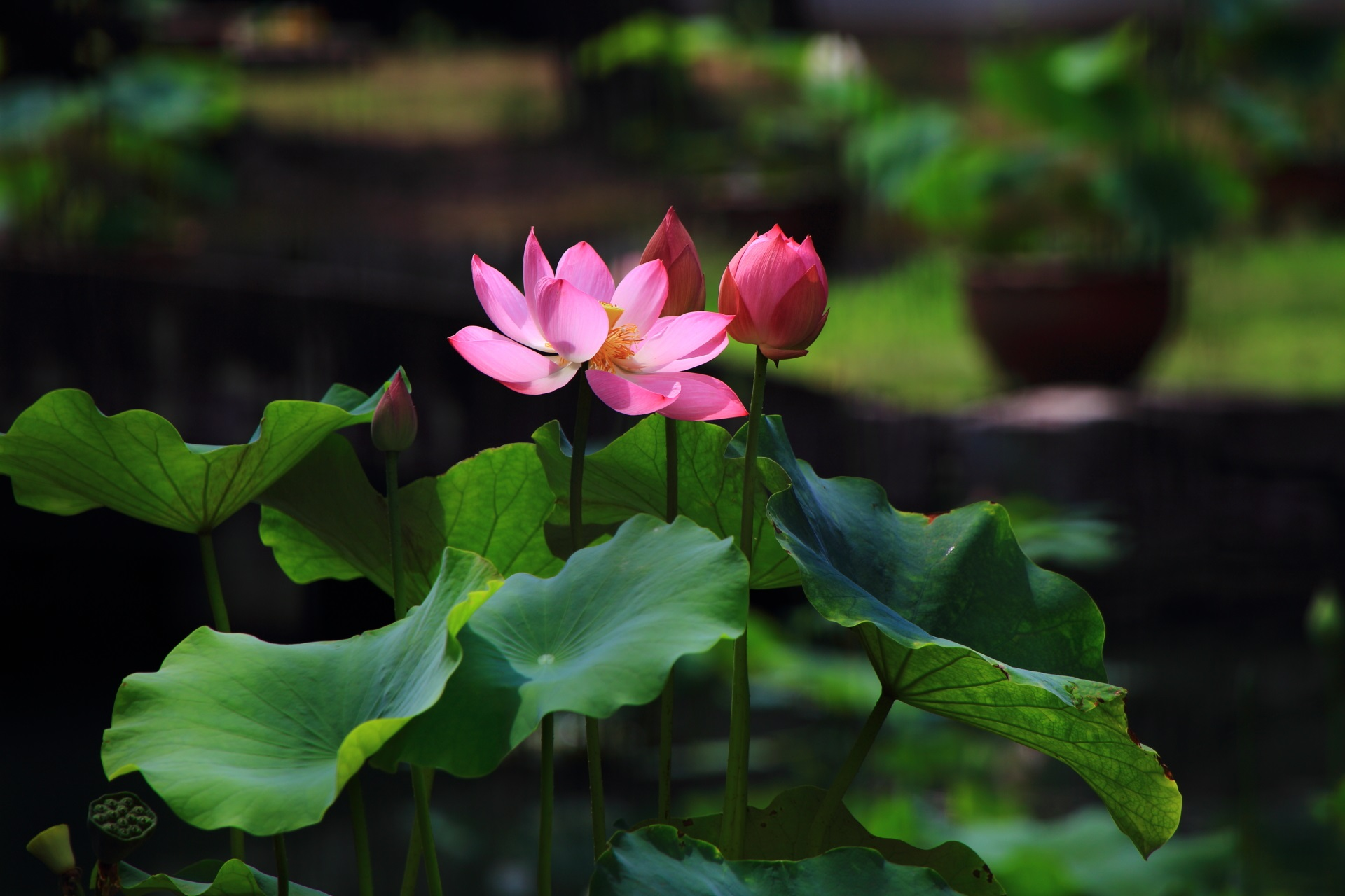 華やかな色とりどりの蓮の花が咲く相国時(しょうこくじ)