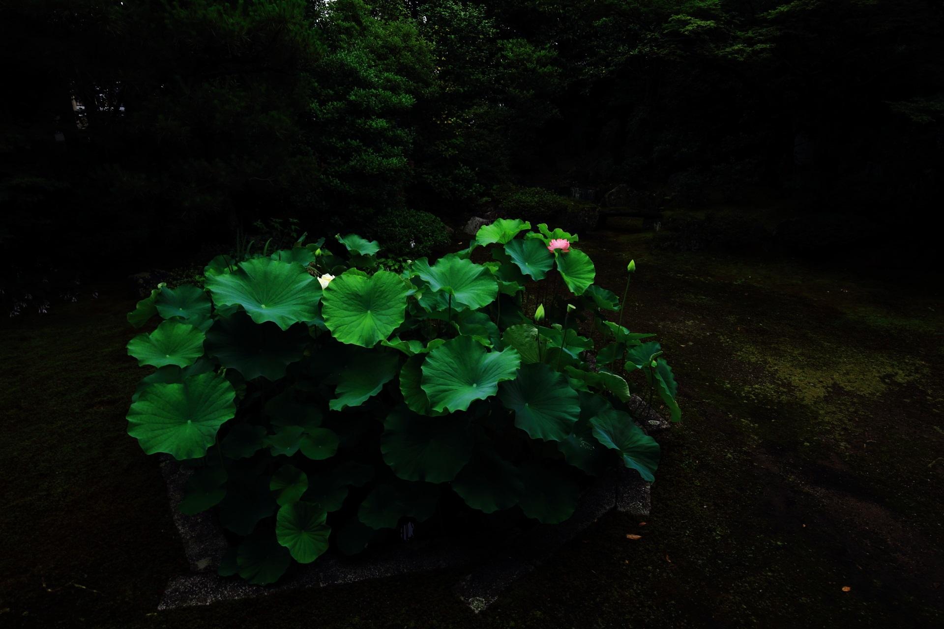 本法寺の巴の庭の花と一緒に光る蓮の葉