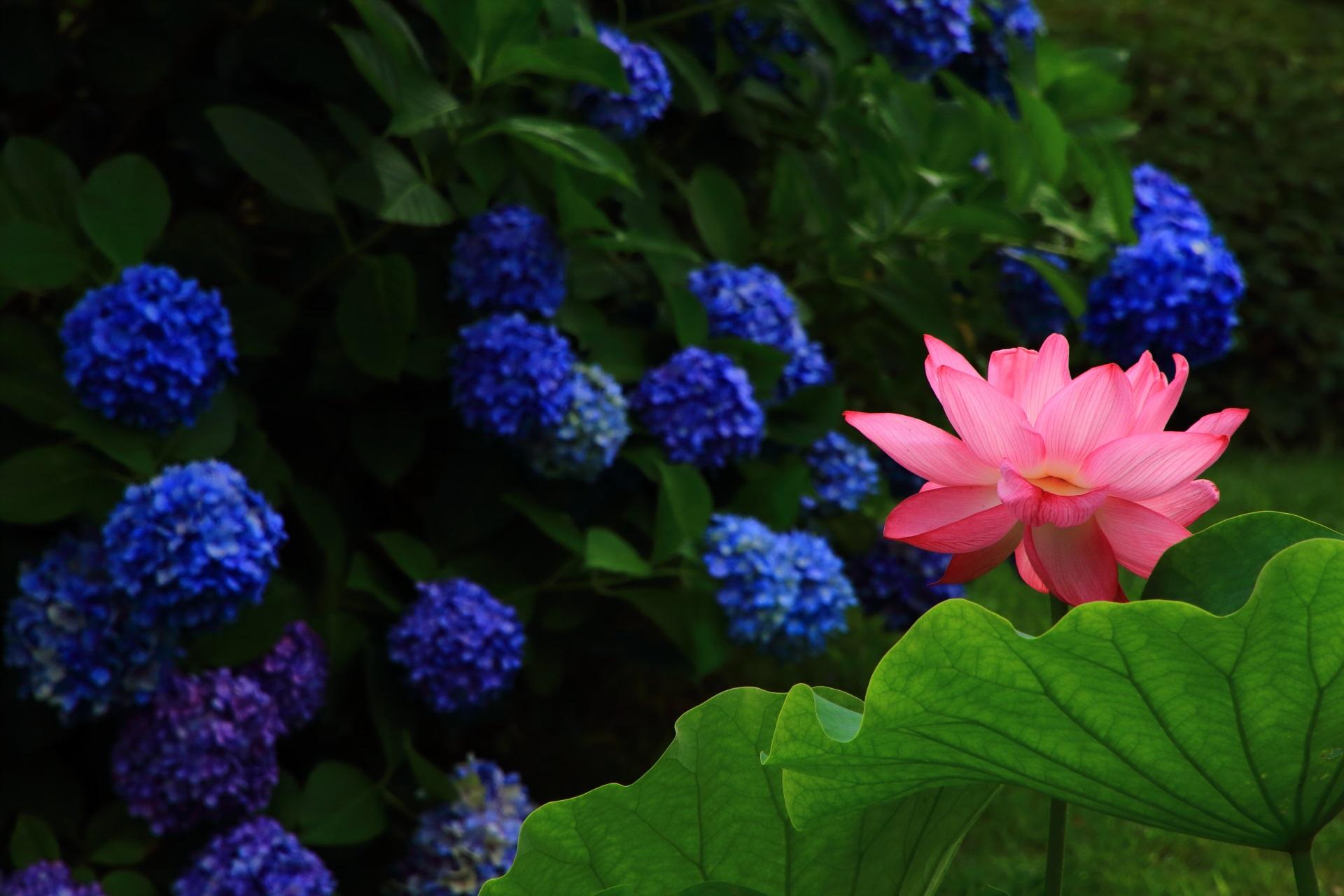 紫陽花の青の中で浮かび上がる幻想的なピンクの蓮の花
