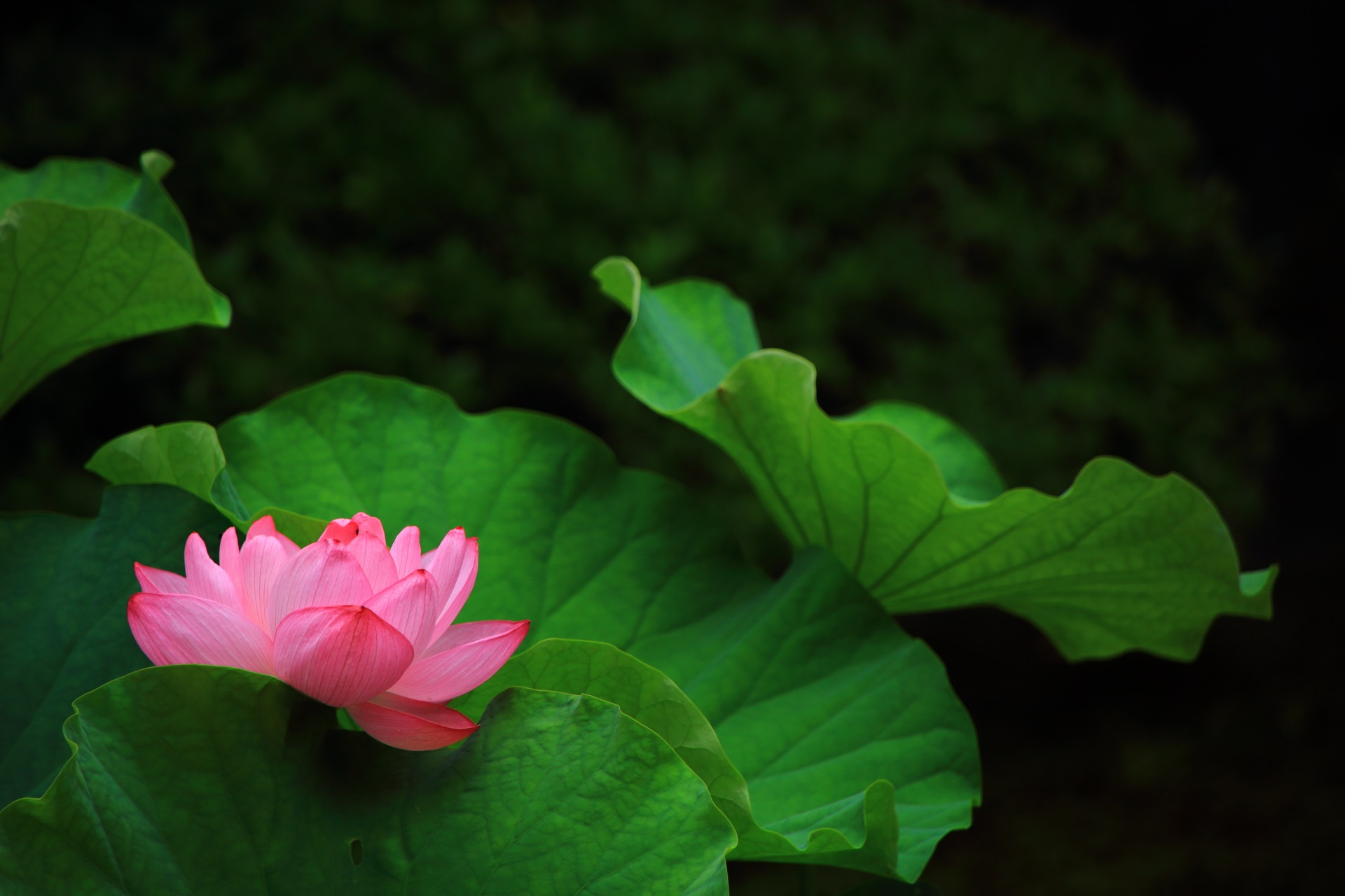 巴の庭の深い緑に映える蓮の葉の鮮やかな緑と華やかなピンクの花