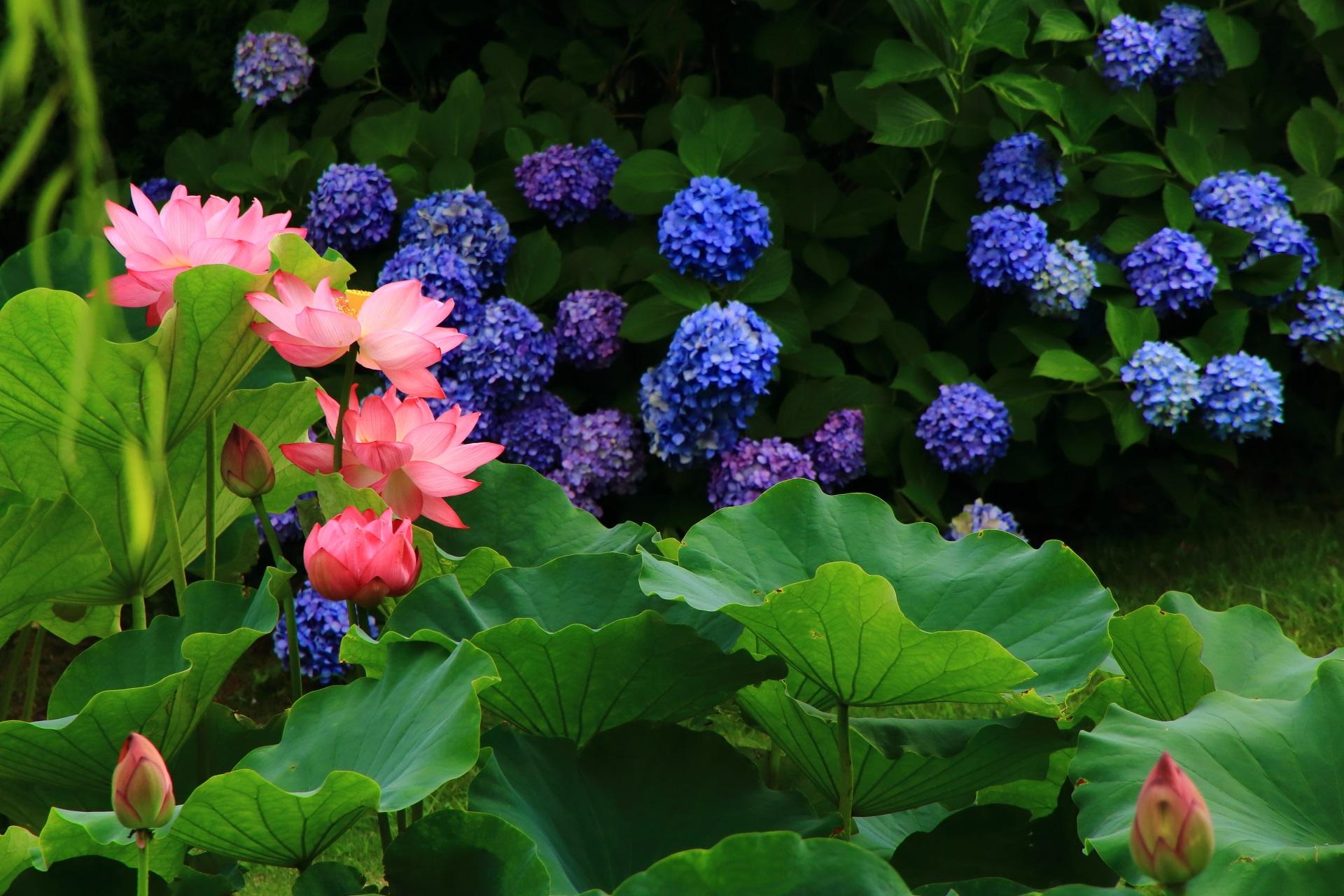 自然の中の色んなものが揃わないと見られない蓮と紫陽花と柳の一生もんの景色