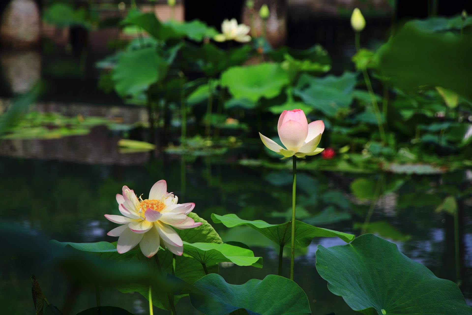 ほんのりピンクの入った華やかな白い蓮の花