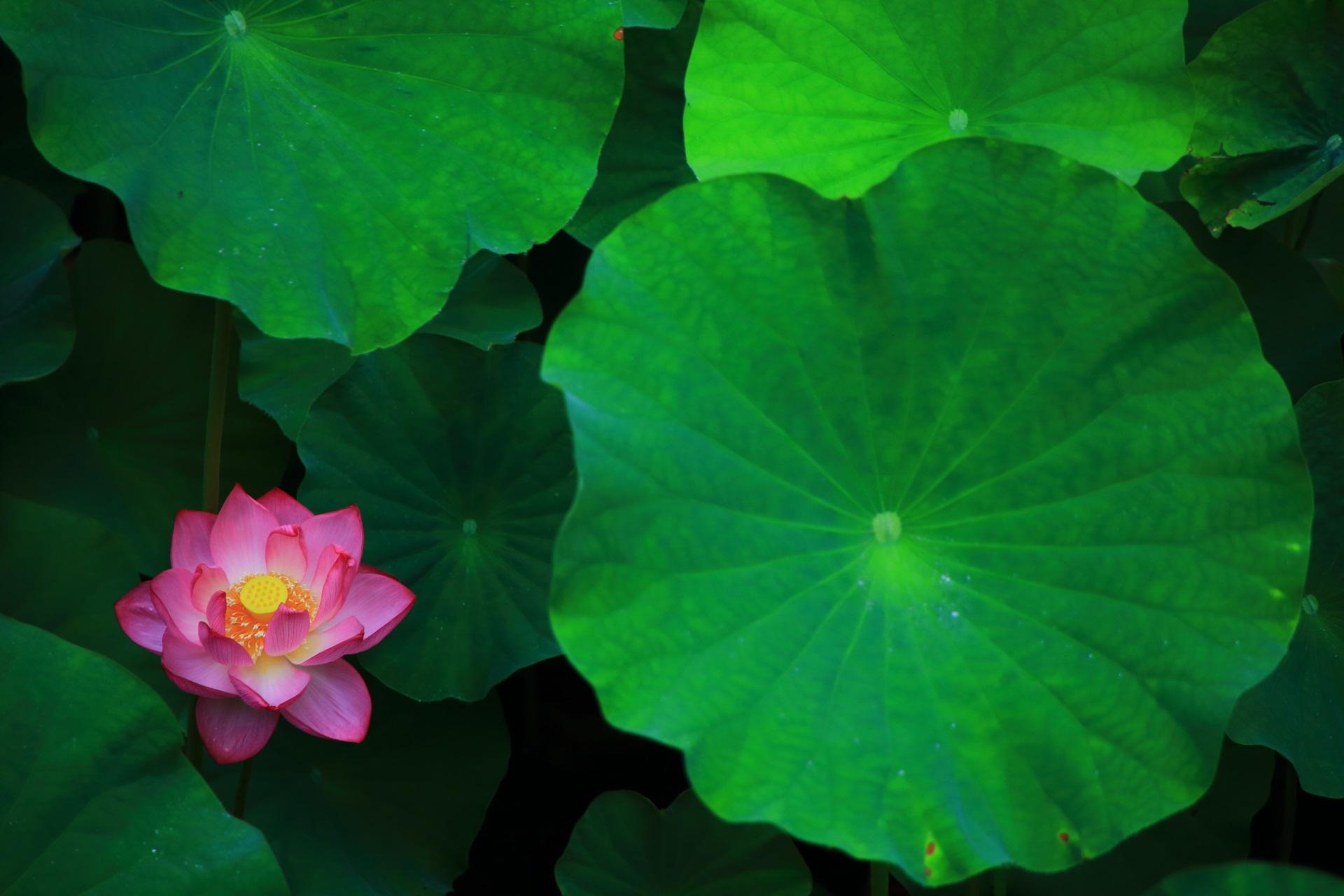 大谷本廟(おおたにほんびょう)の綺麗な丸い蓮の葉と花