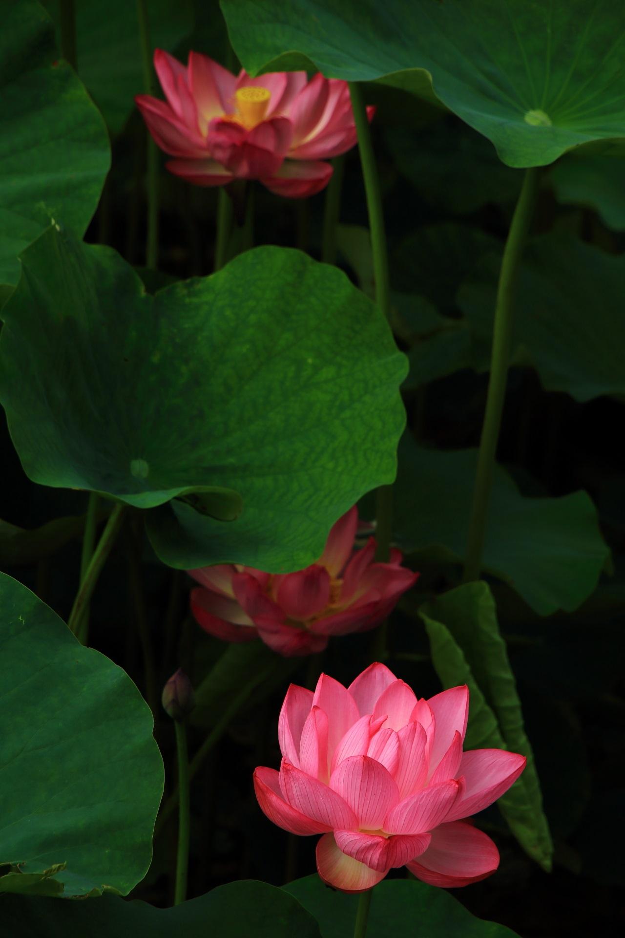 咲く時にポンと音がすると言われる蓮の花