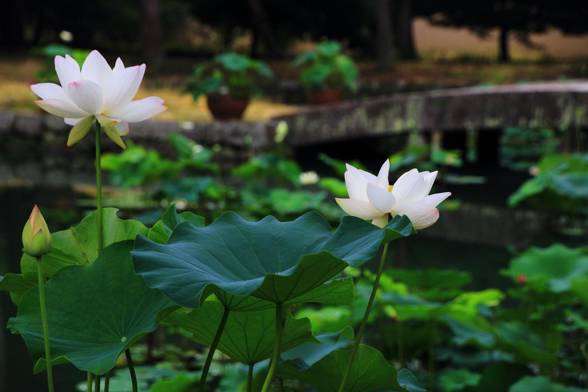 ゆるい光が演出する柔らかな蓮の風景
