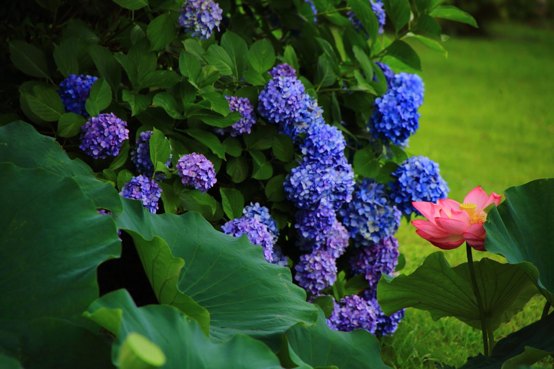 東寺の満開の紫陽花と蓮の初夏の花の競演