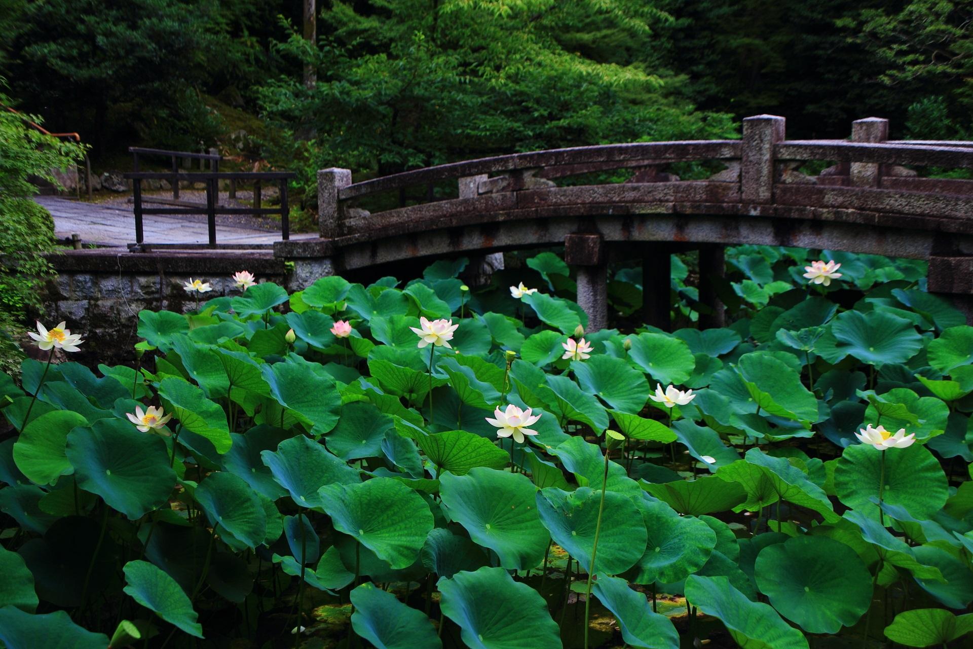違った趣きを見せてくれる知恩院の横から眺めた蓮池の石橋と花