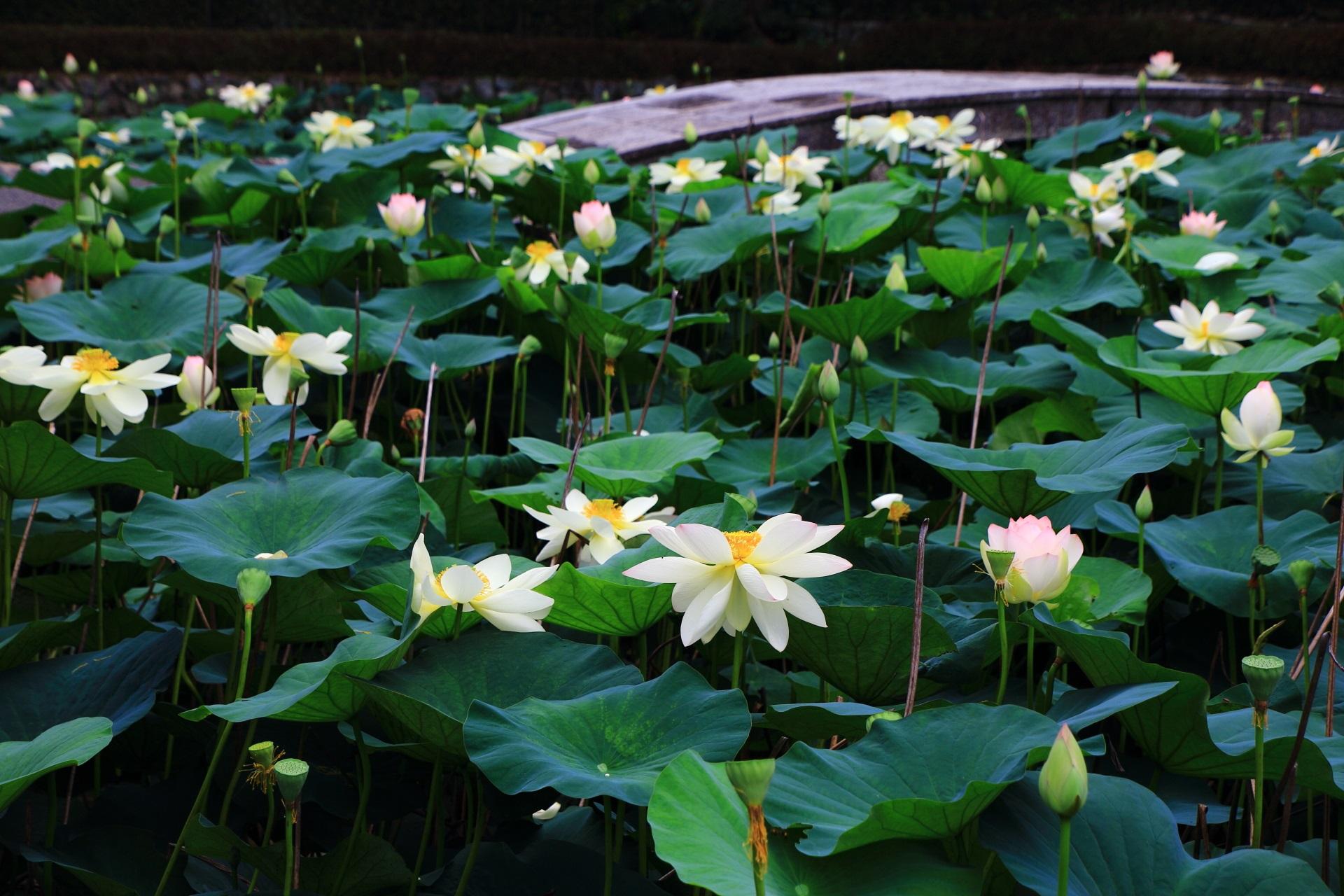 深い緑に映える東福寺の華やかな白い蓮の花
