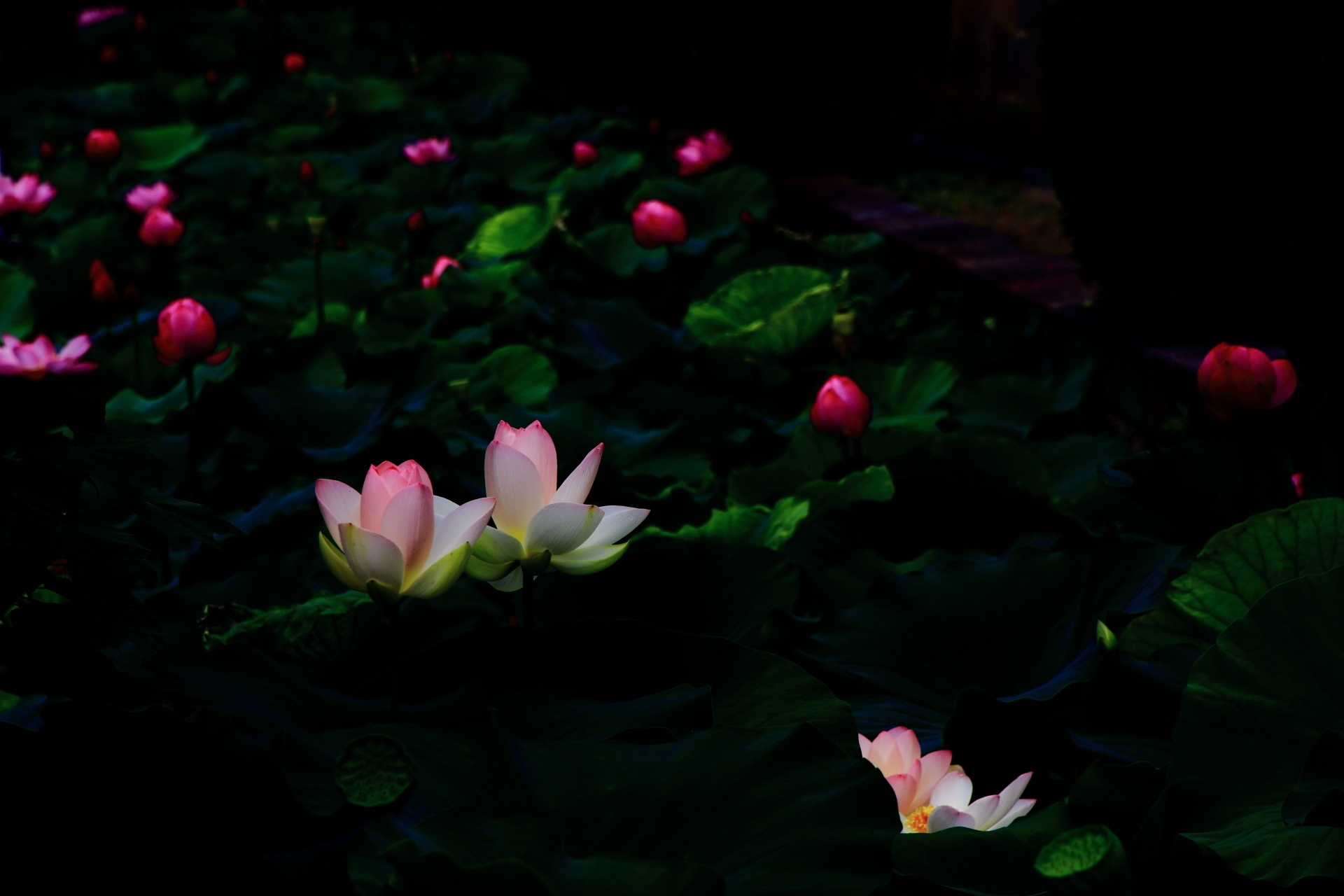 東本願寺の夜の海の荒波で光るような多種多様な蓮の花