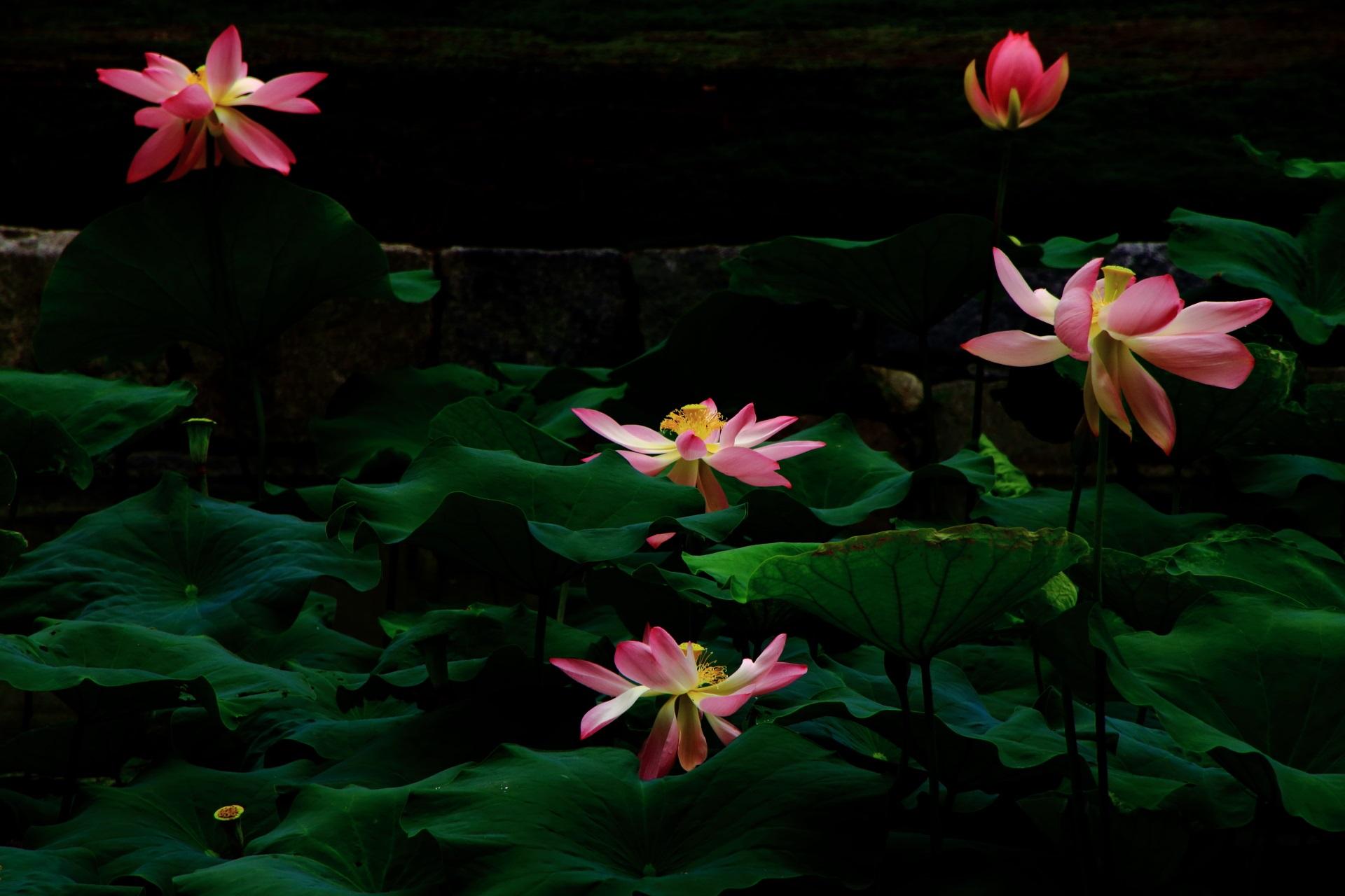 雪洞(ぼんぼり)が灯るように浮かび上がる蓮の花