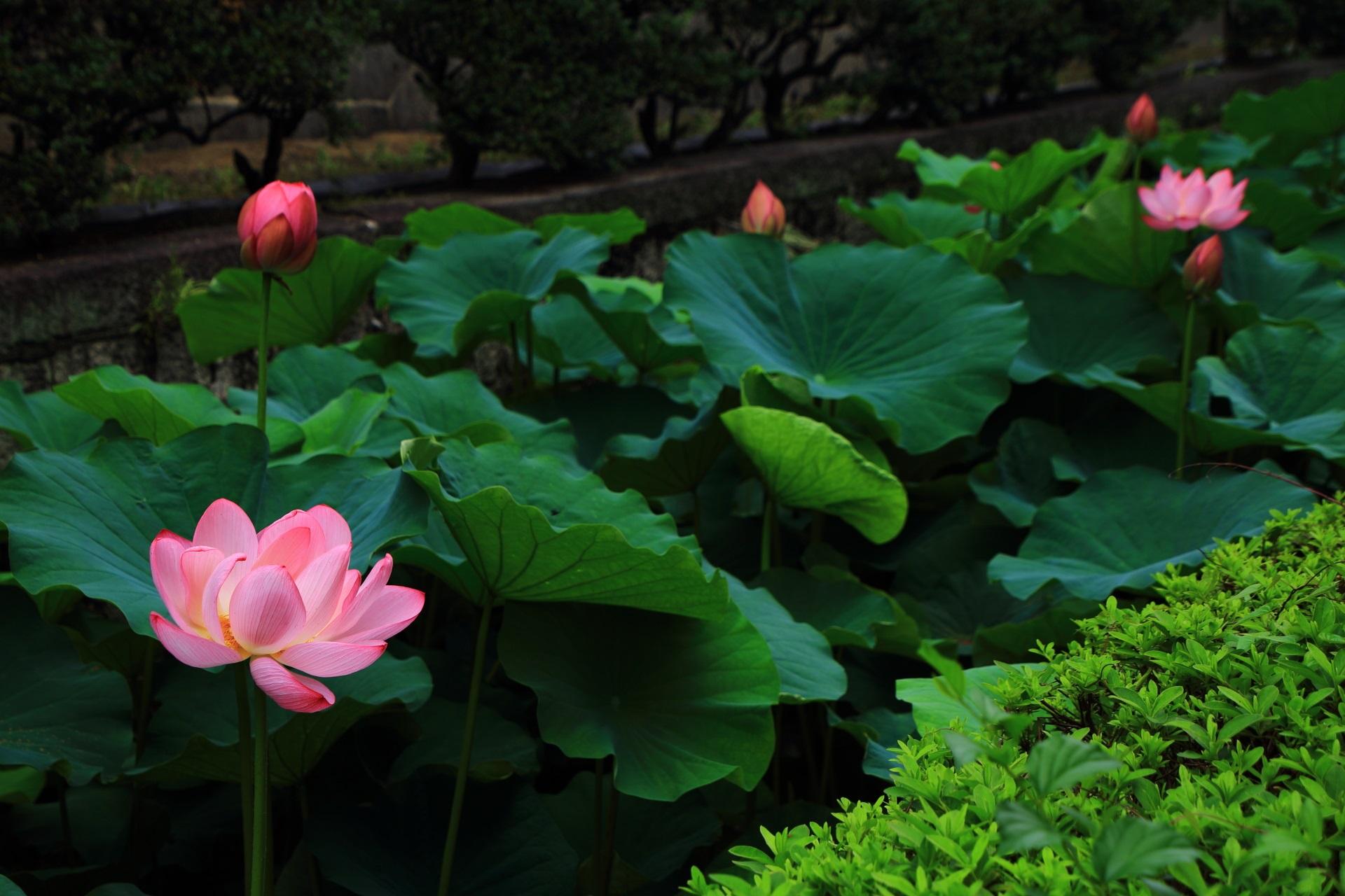 東本願寺のお堀に咲く華やかな蓮