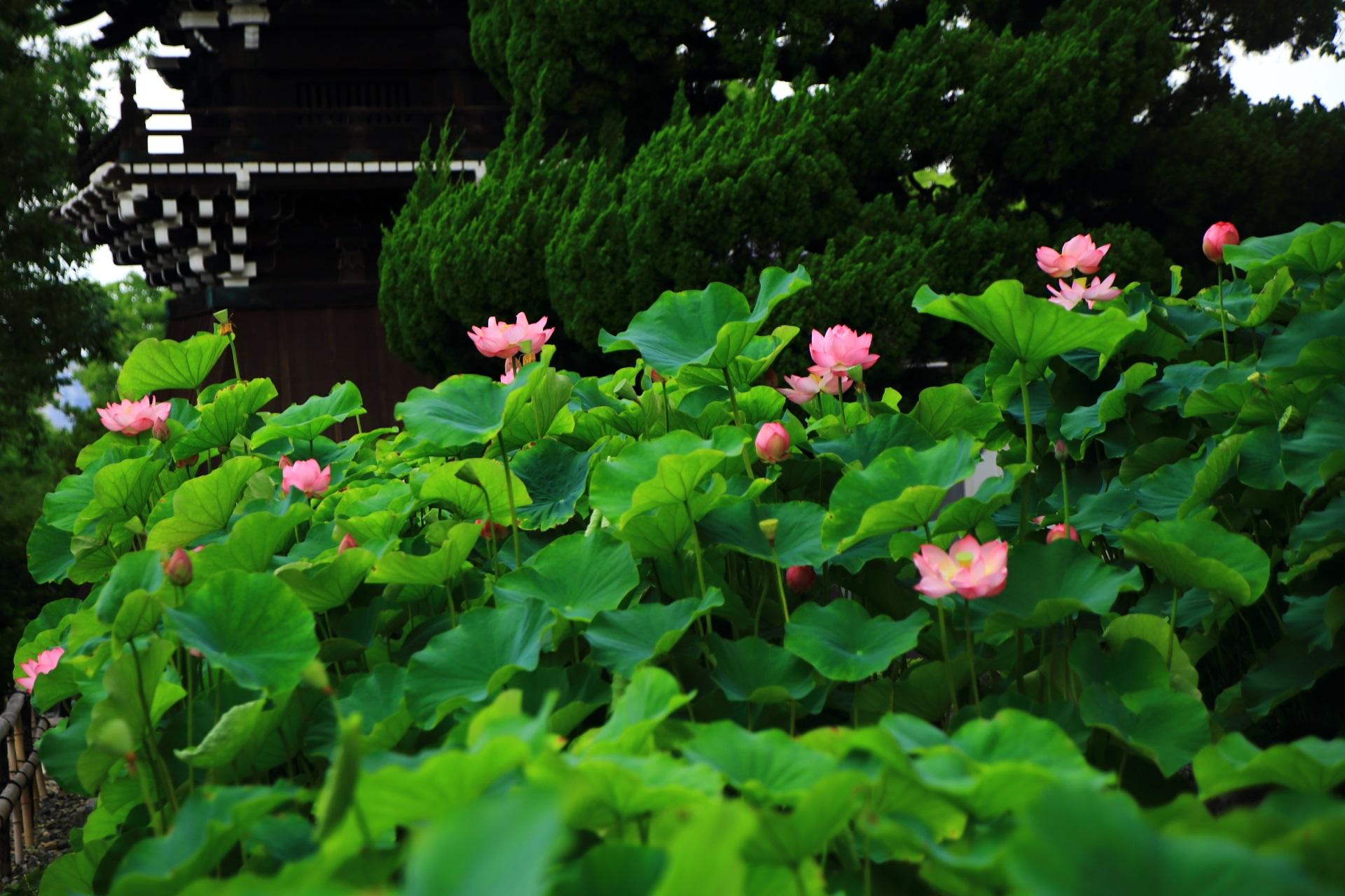 ハスの緑とピンクの綺麗なコントラストと華やかな色合い