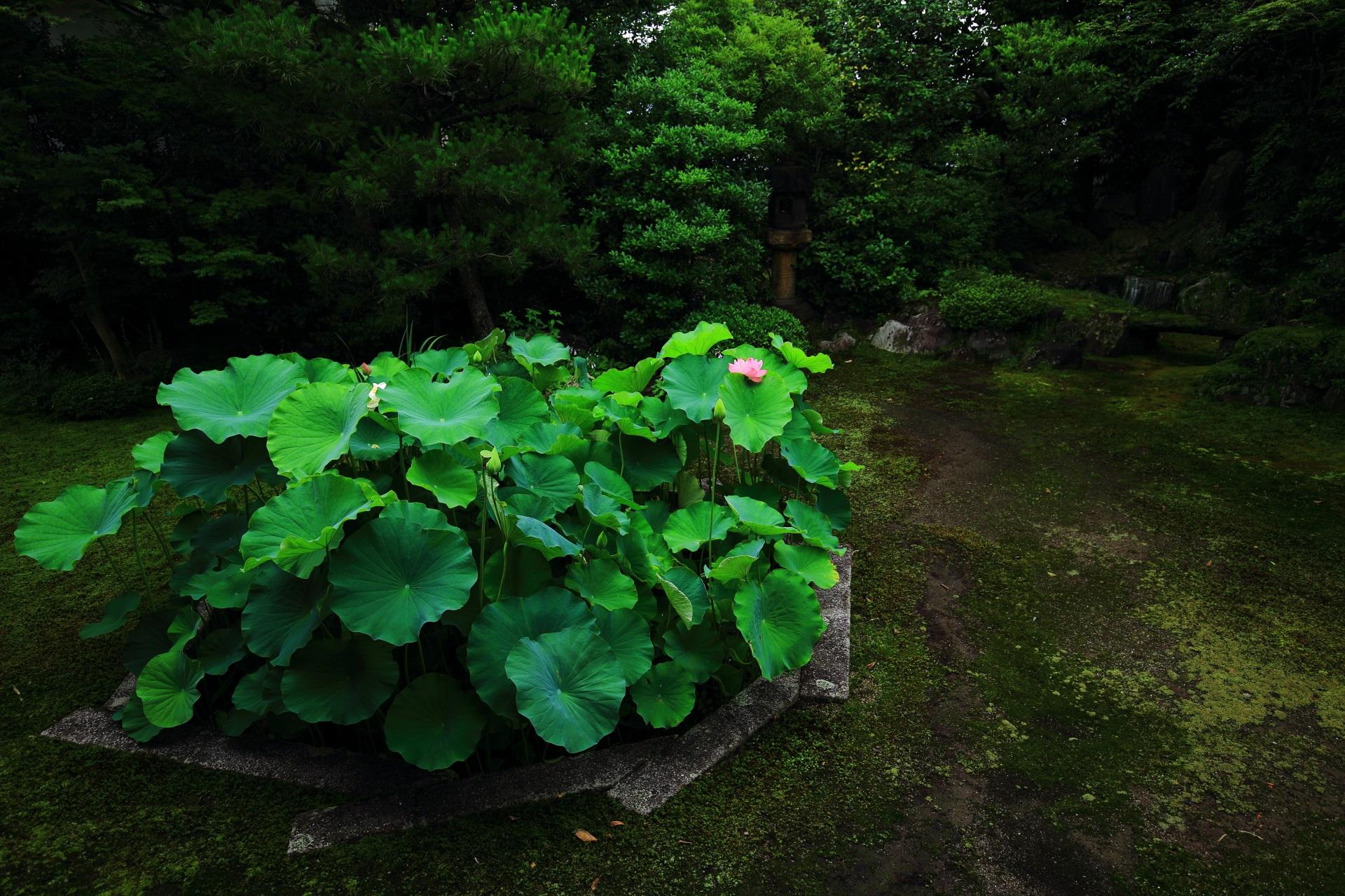 緑の中でアクセントになる蓮の花
