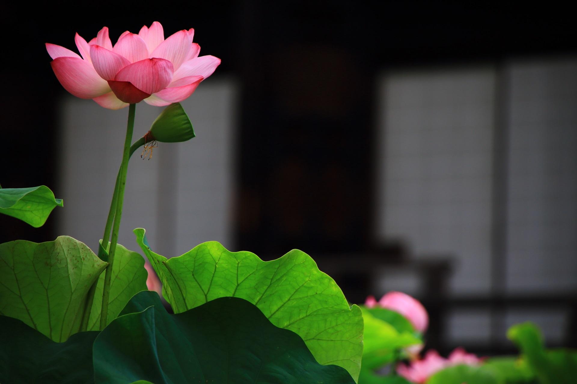 古風な雰囲気がする大谷本廟の蓮の花と仏殿