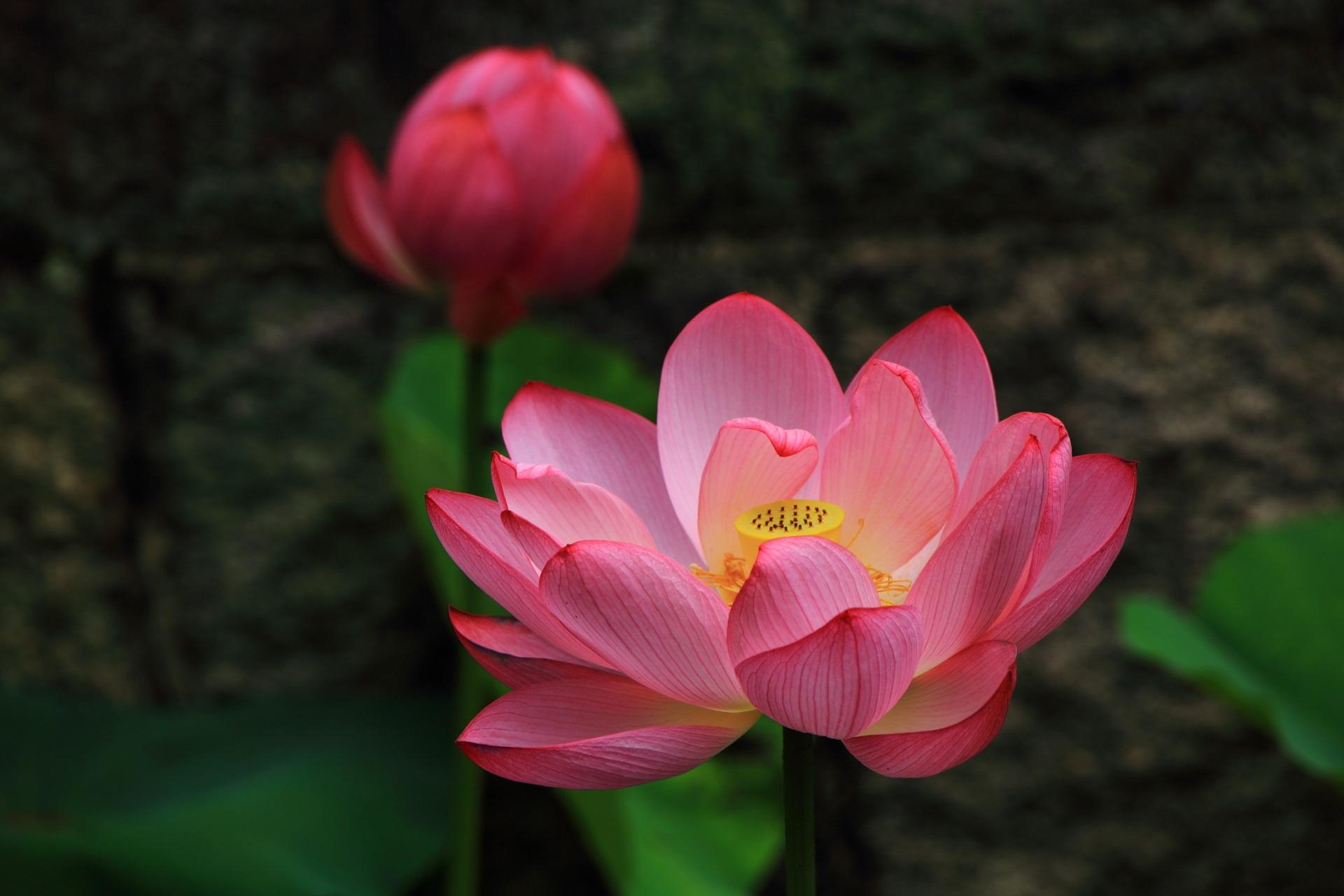 東本願寺の幻想的なピンクの蓮の花