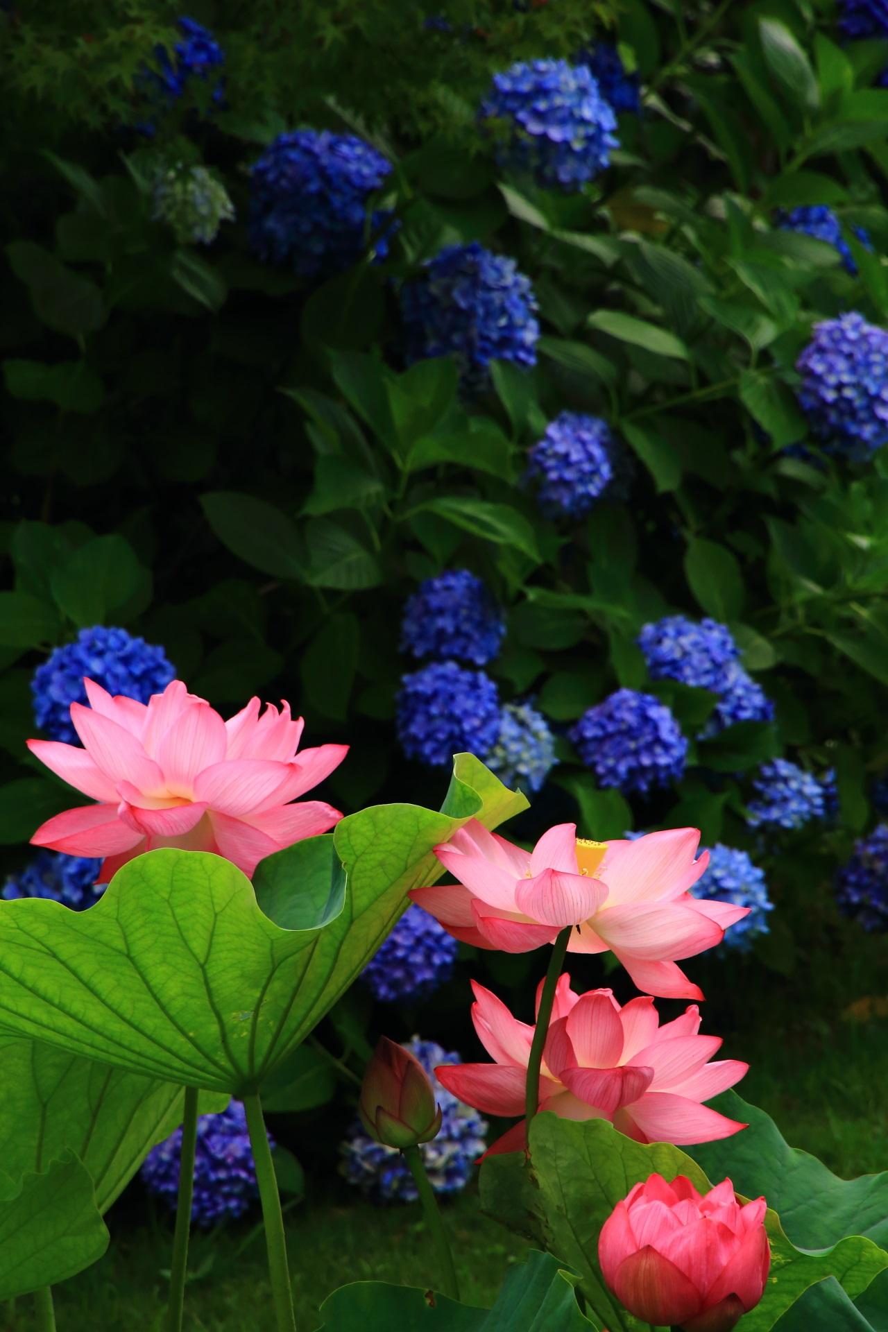 東寺の素晴らしすぎる蓮と紫陽花と初夏の情景