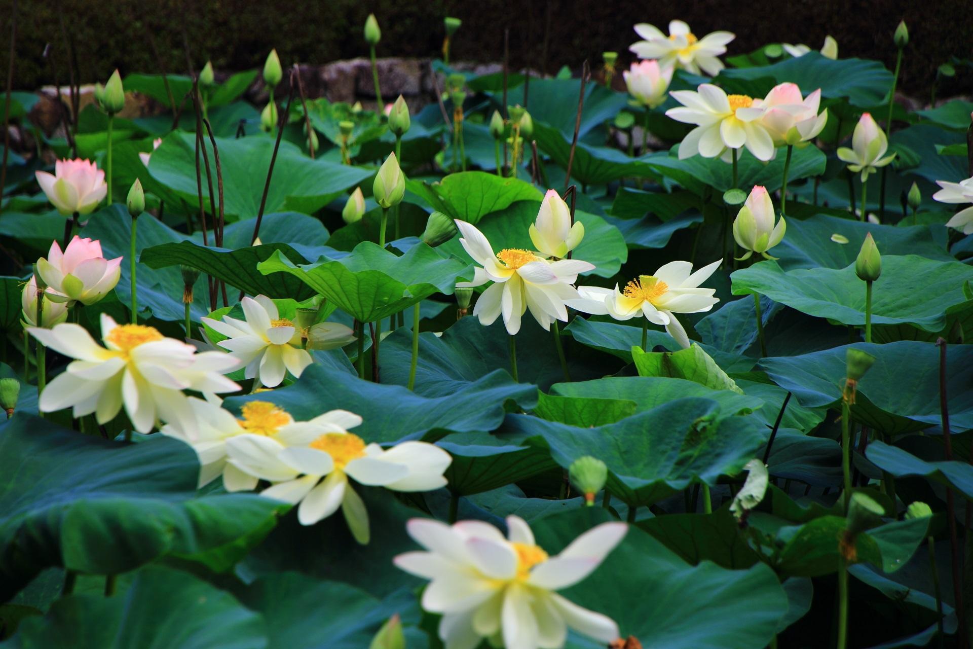 通常よりもしっとりとした白色に見える東福寺のハスの花