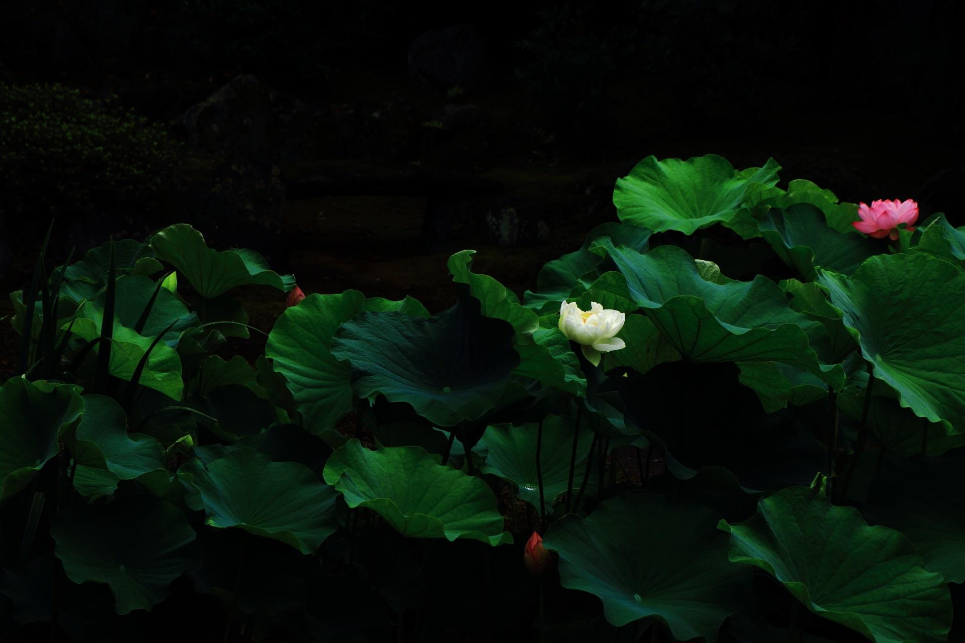 本法寺の闇の中で浮かび上がる紅白の蓮の花