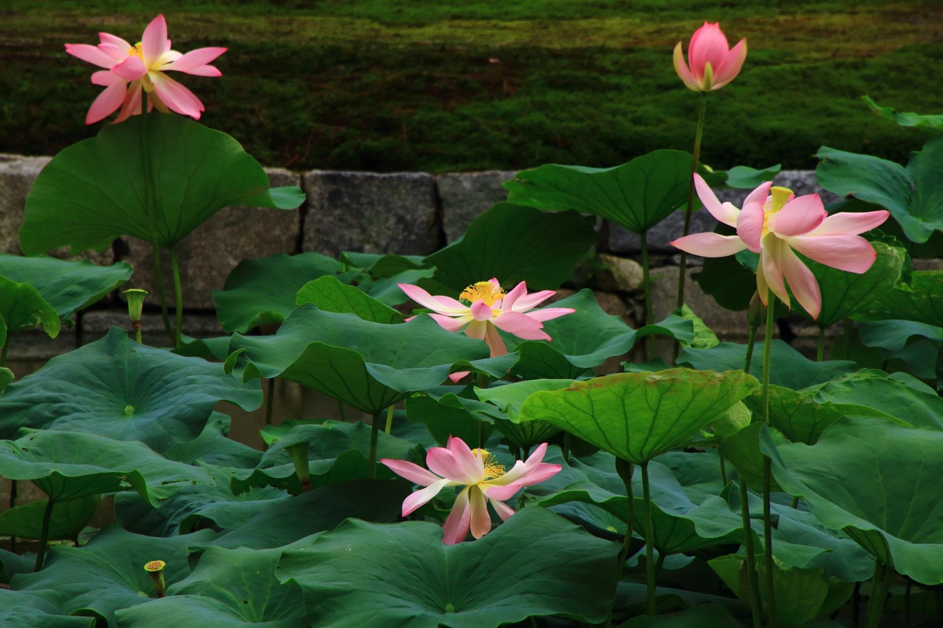 建仁寺の優しい色合いのピンクの蓮の花
