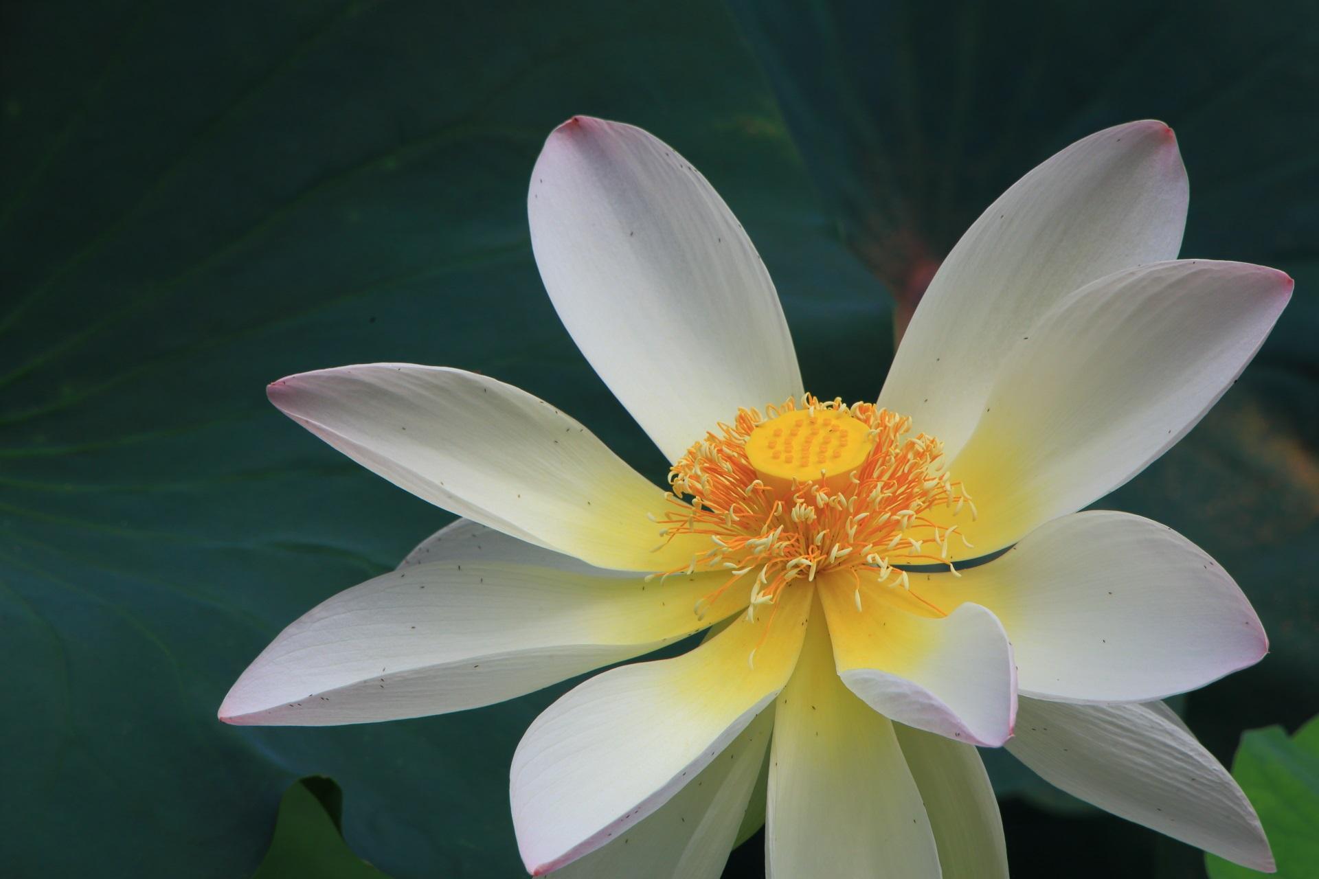 東本願寺の白く柔らかな色合いの蓮の花