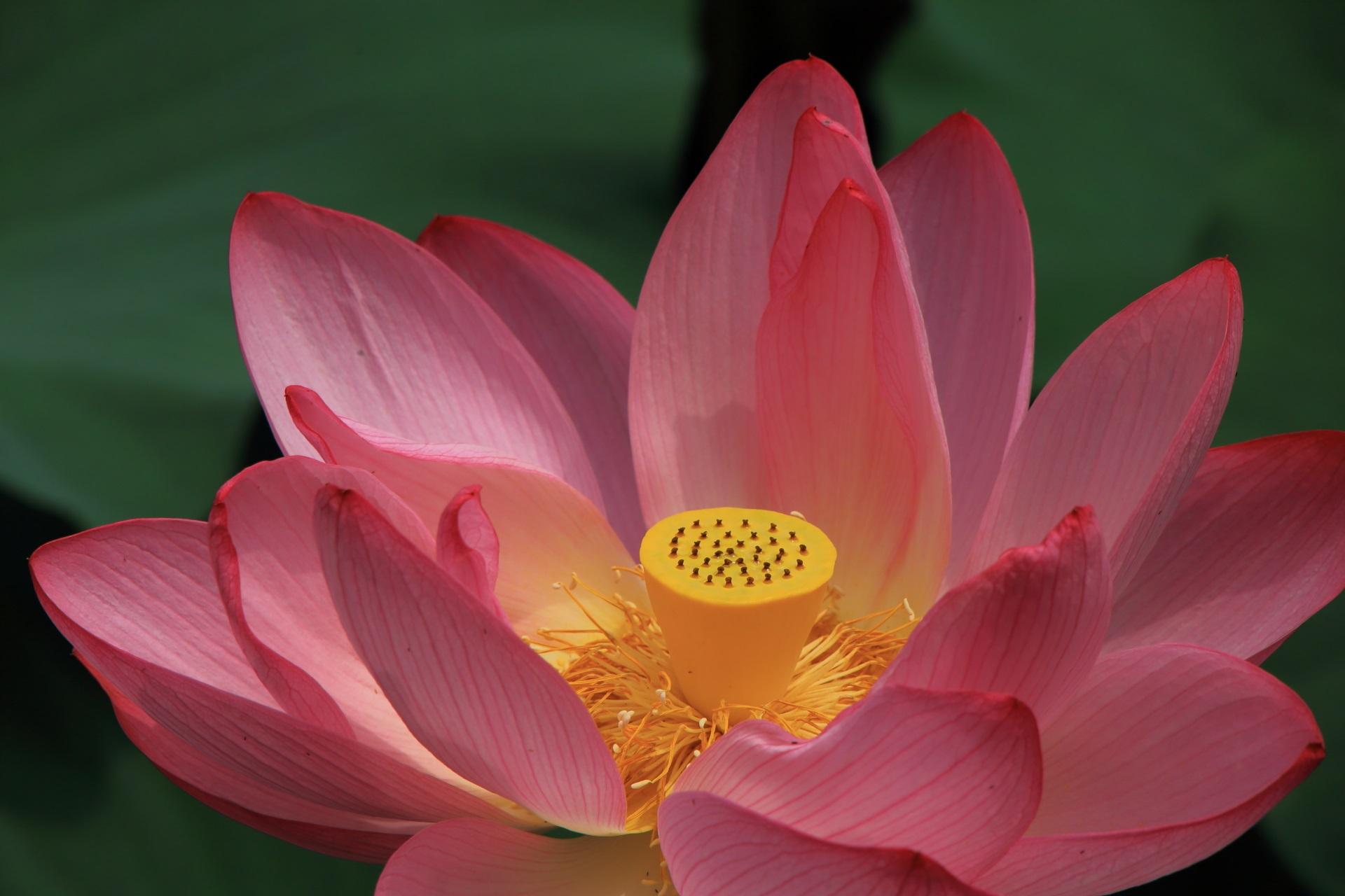 ゆるい光が当たって華やかな色合いの見事なピンクの蓮の花