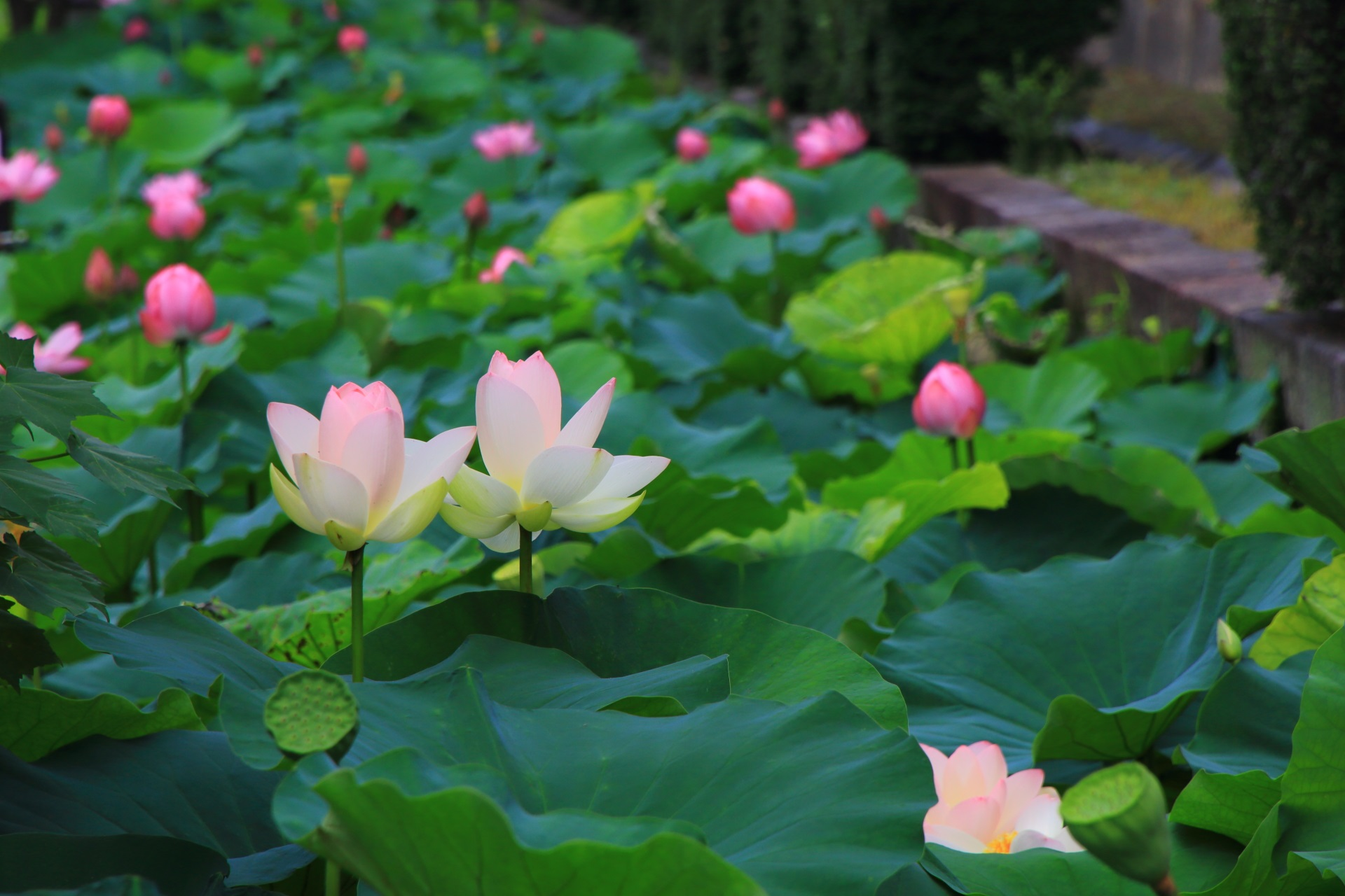 Lotus flower of Higashi-Honganji-Temple in Kyoto,Japan