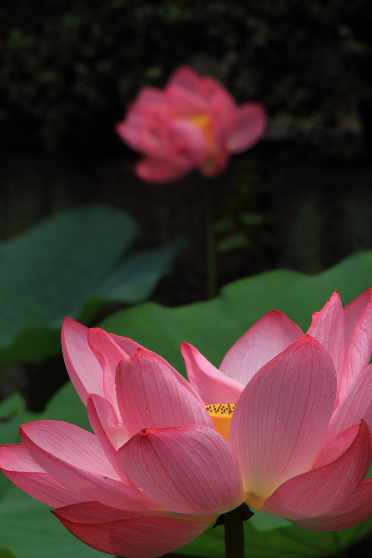 優雅に咲き誇るピンクの蓮の花