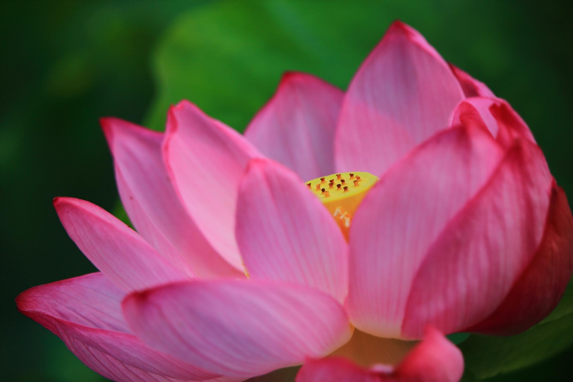 大谷本廟の華やかなピンク色の蓮の花