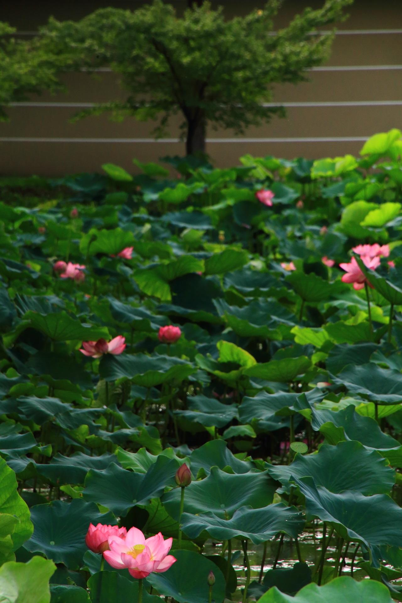 濃い緑の葉とはsの花