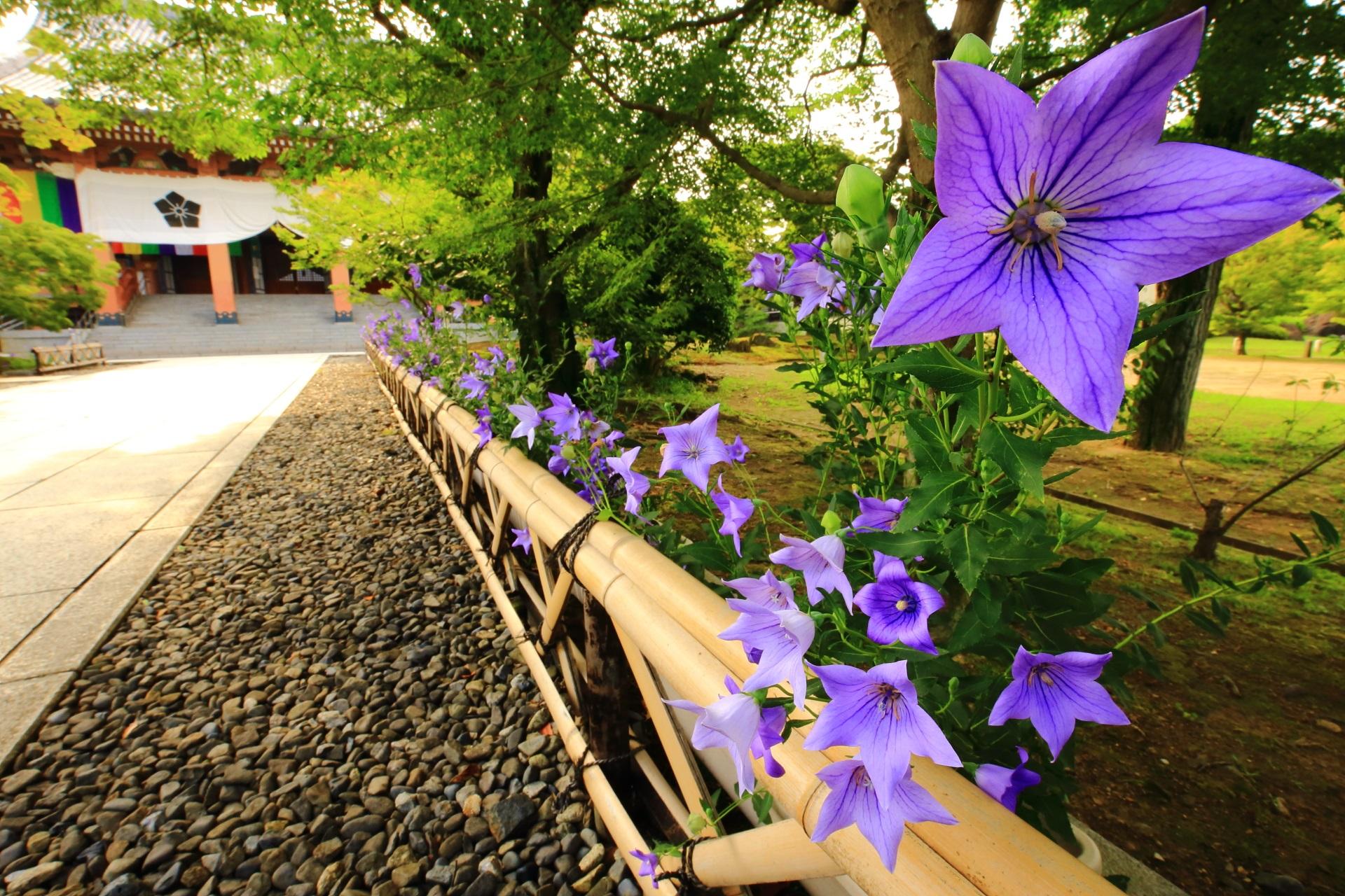 智積院 桔梗 寺紋の紫の彩り