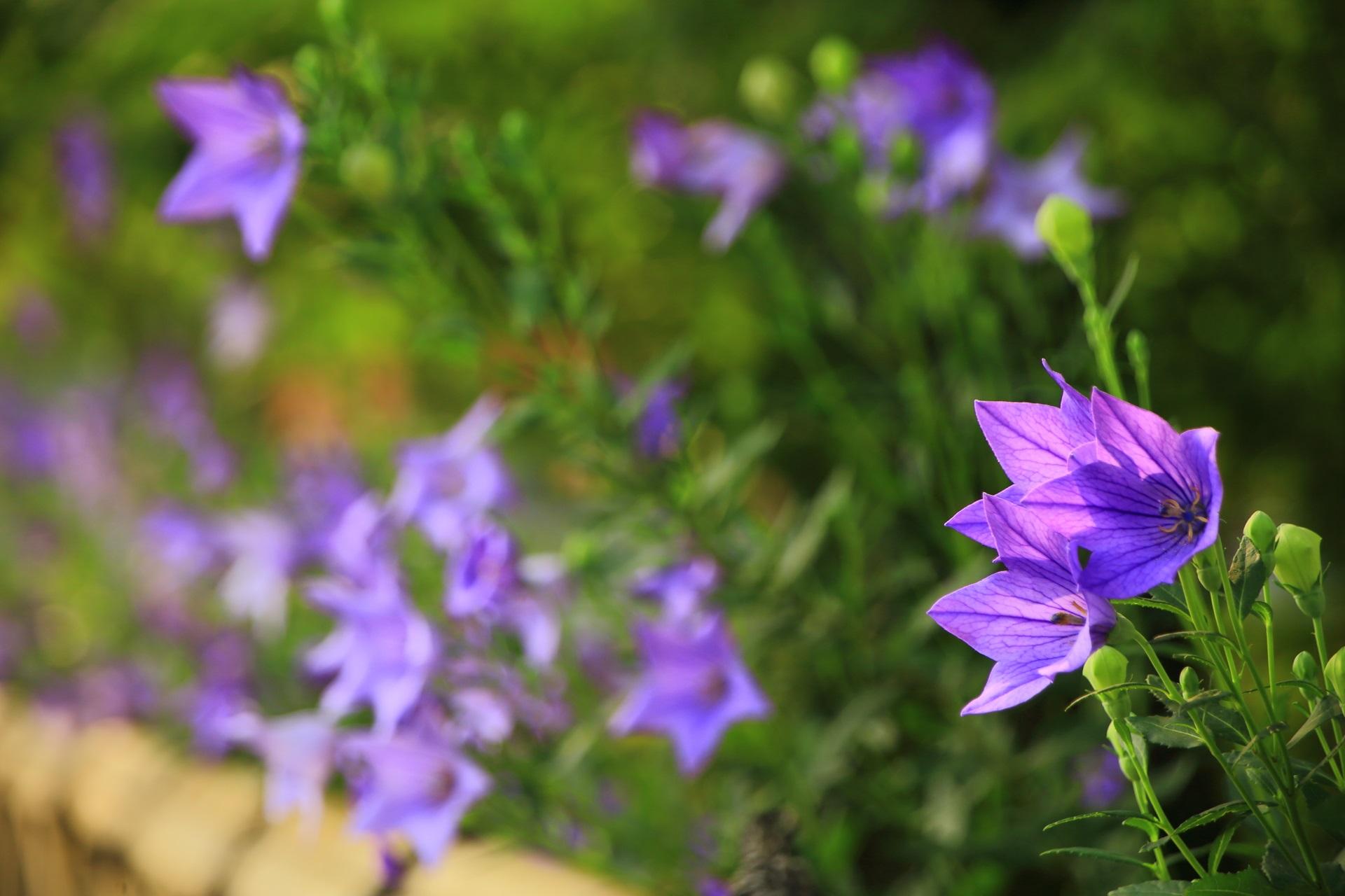 日が当たり透きとおる紫の桔梗の花