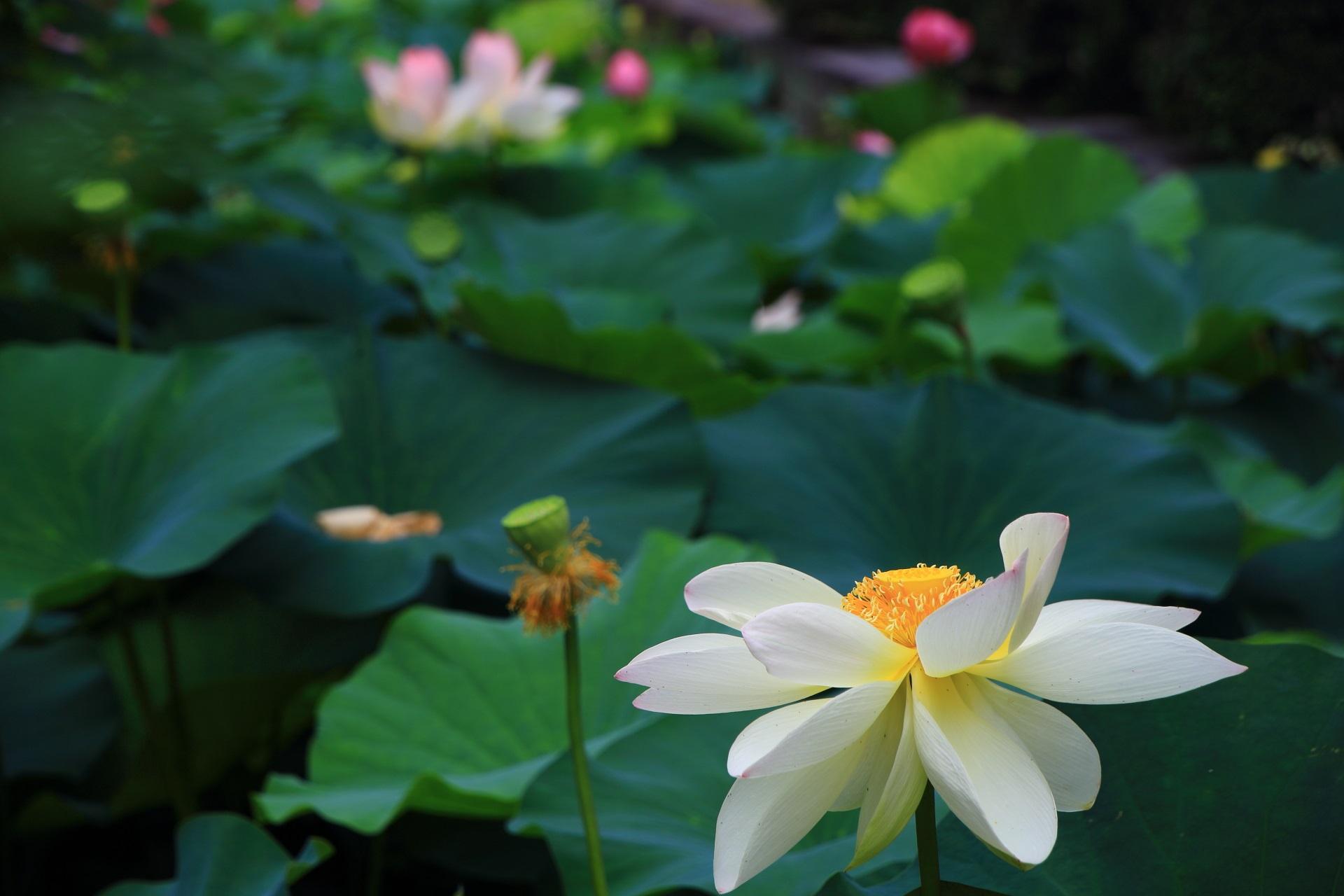 東本願寺の蓮の葉の緑に映える白い花