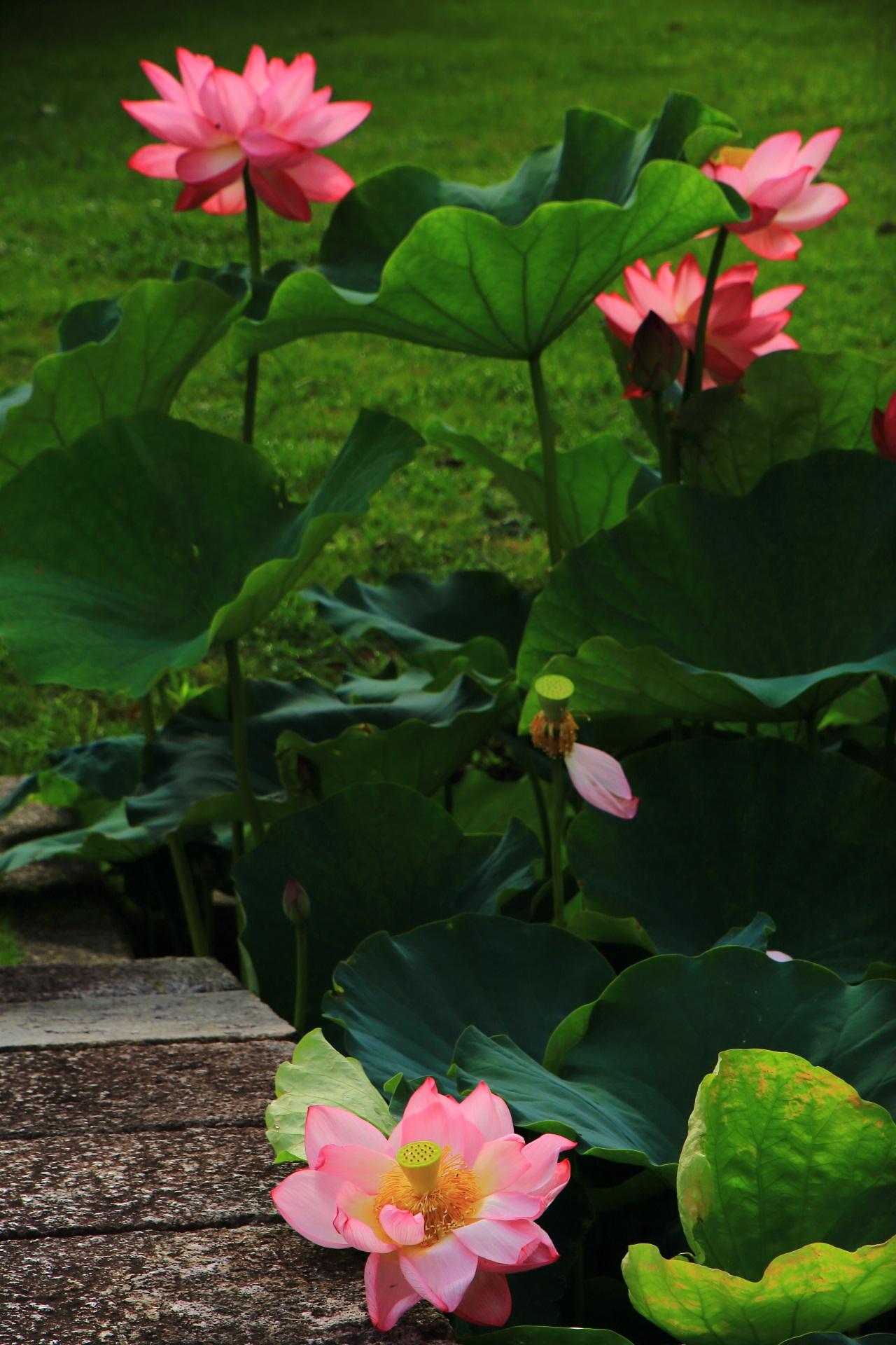 石橋の上にもたれるように咲いているはすの花