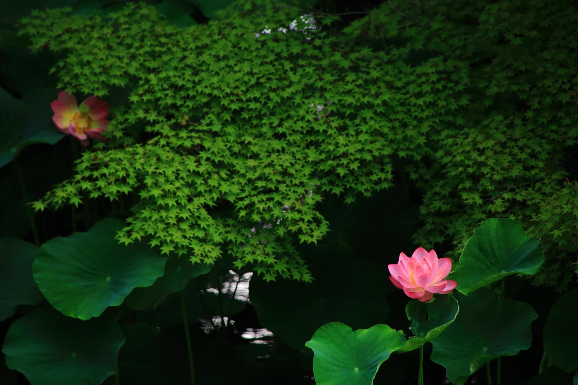 青もみじと葉が美しさを引き立てる大谷本廟の極上の蓮