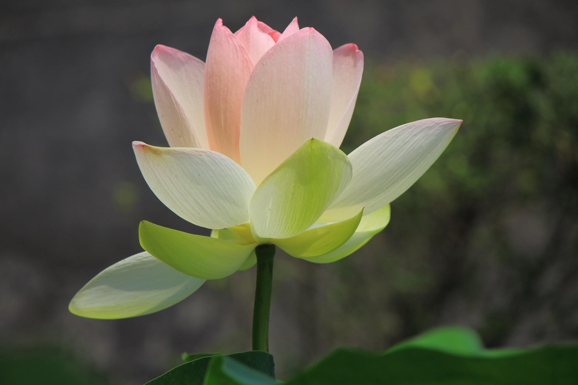 東本願寺のほんのり光るような華やかな白い蓮の花