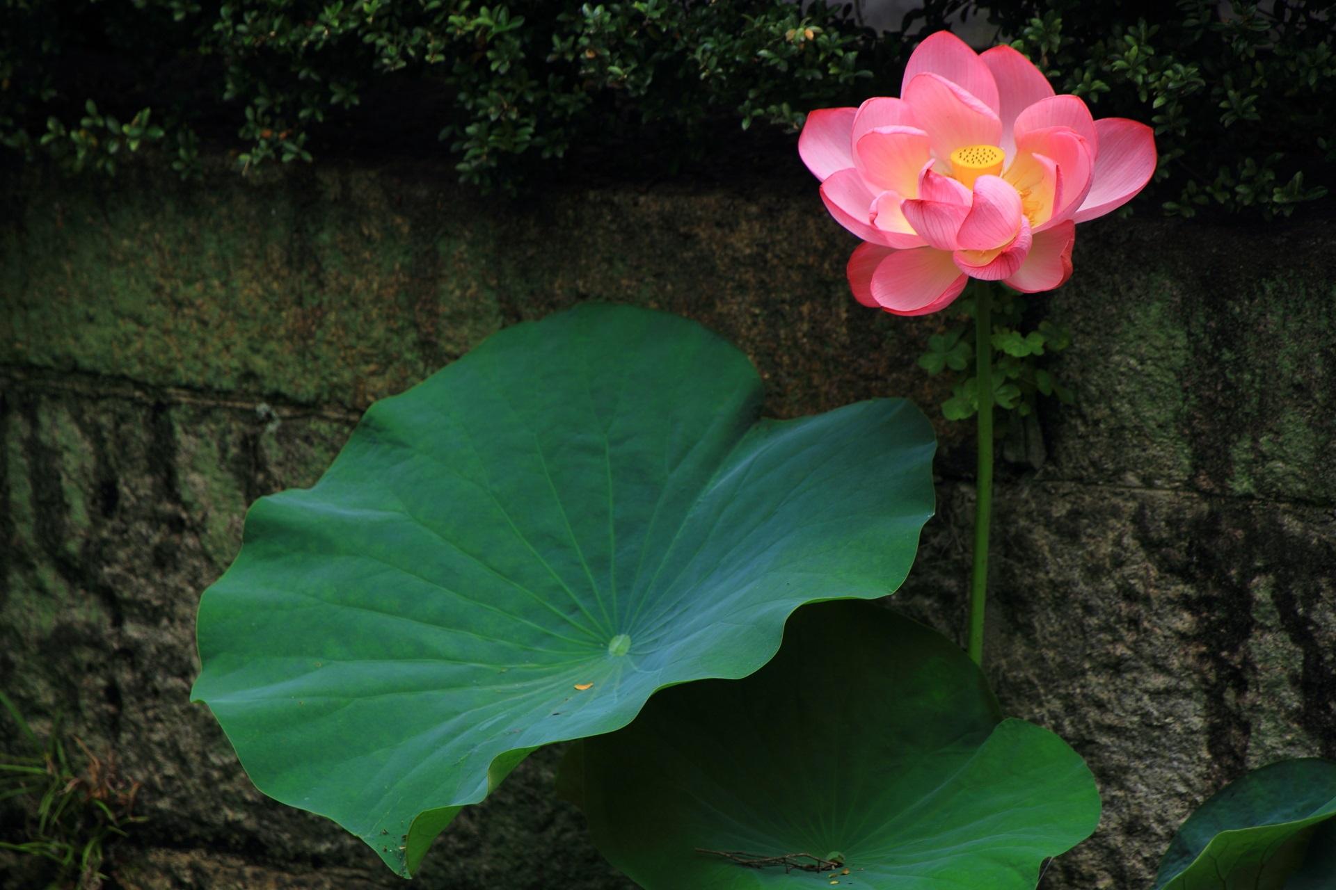 石垣沿いに伸びる立派な蓮の葉と花
