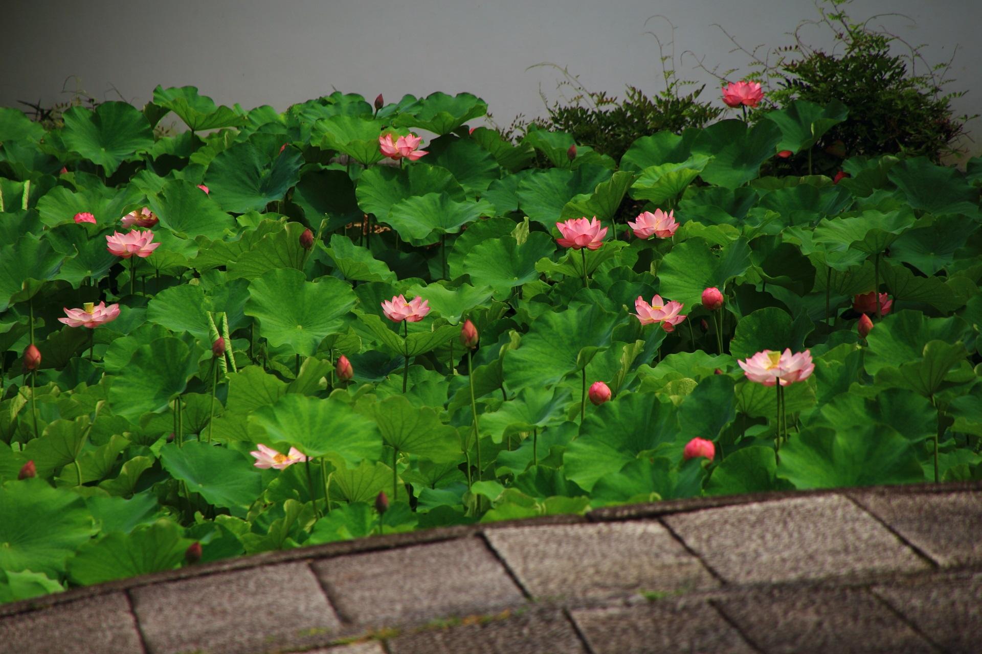 蓮の葉の緑に映える南禅寺の華やかなピンクの蓮の花
