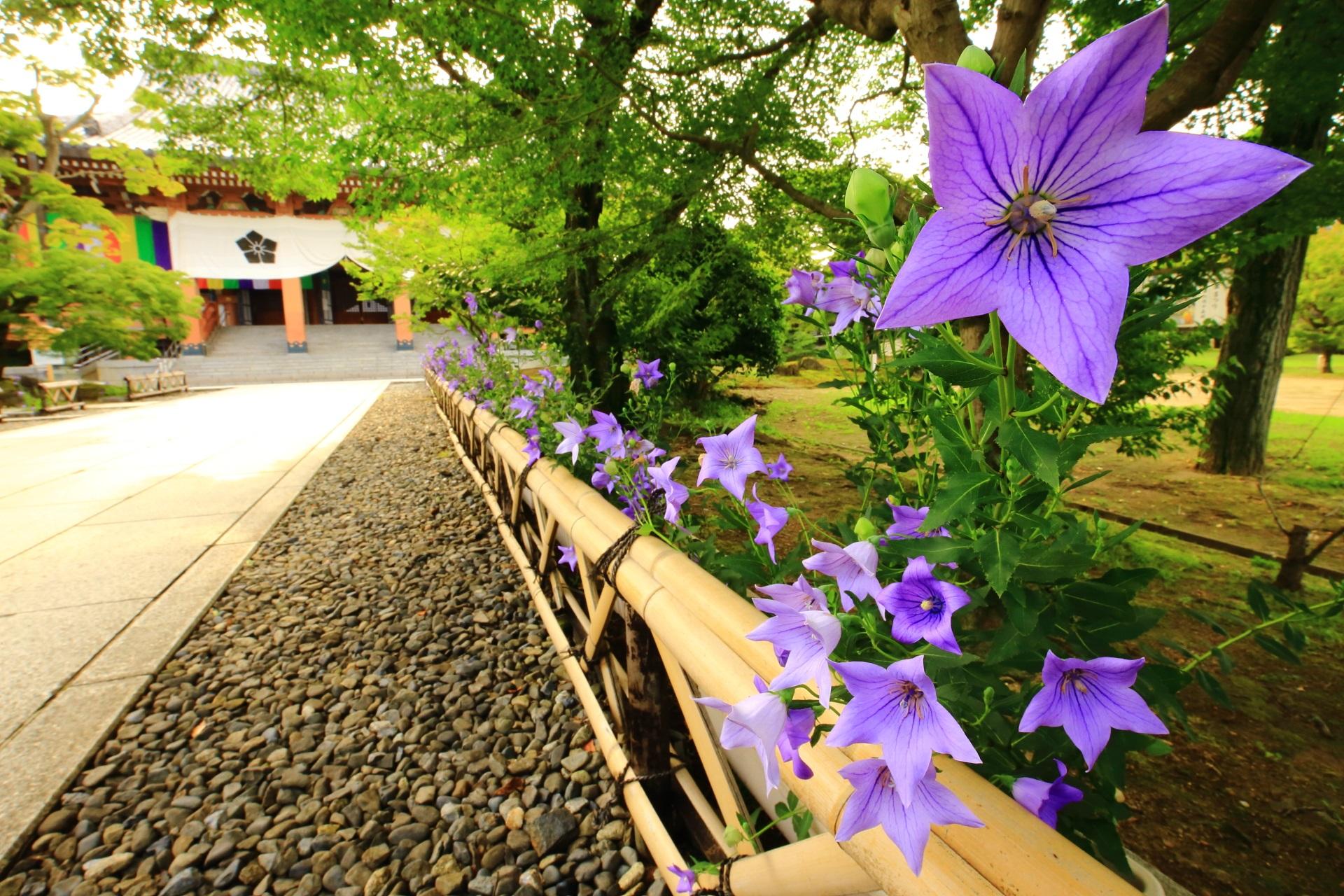 智積院の素晴らしい桔梗と初夏の情景