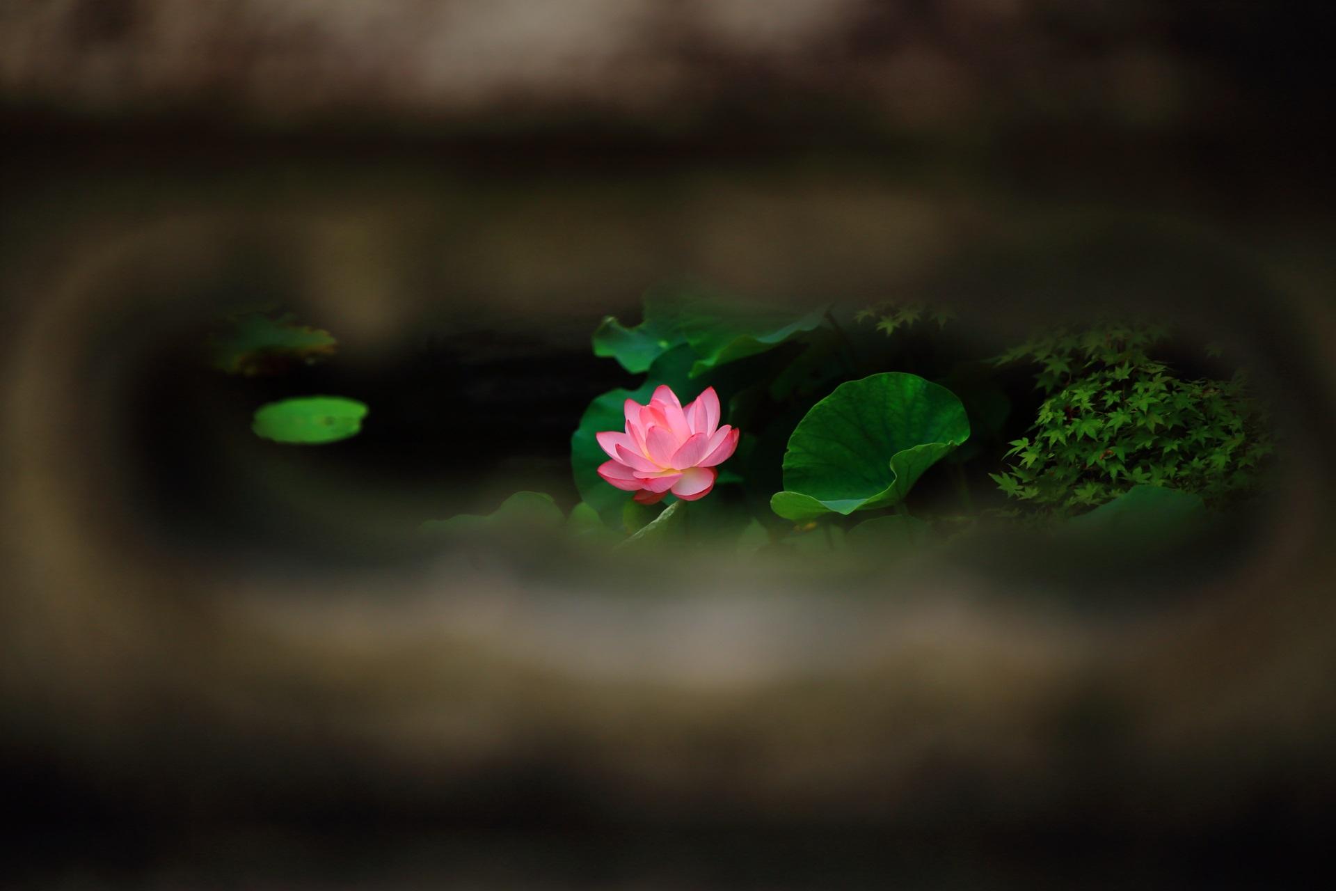 大谷本廟の石橋の欄干から眺めた蓮の花と青もみじ
