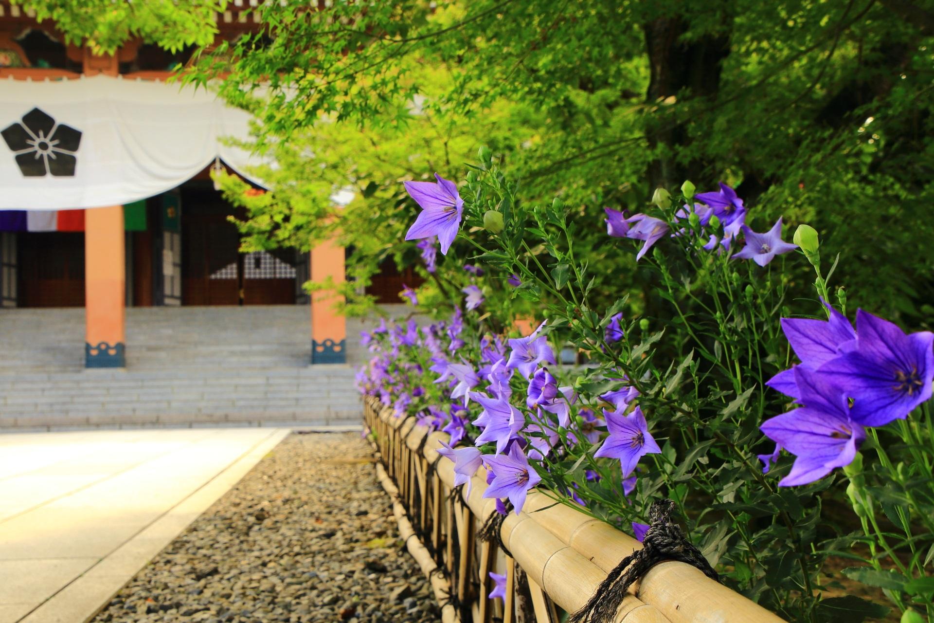四季折々色んな花が咲く智積院の緑に映える紫の桔梗の花