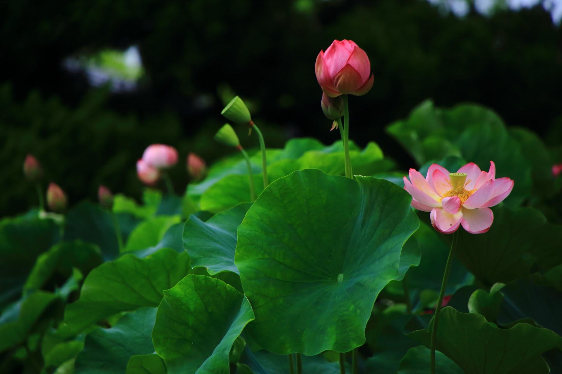 美しい緑の蓮の葉