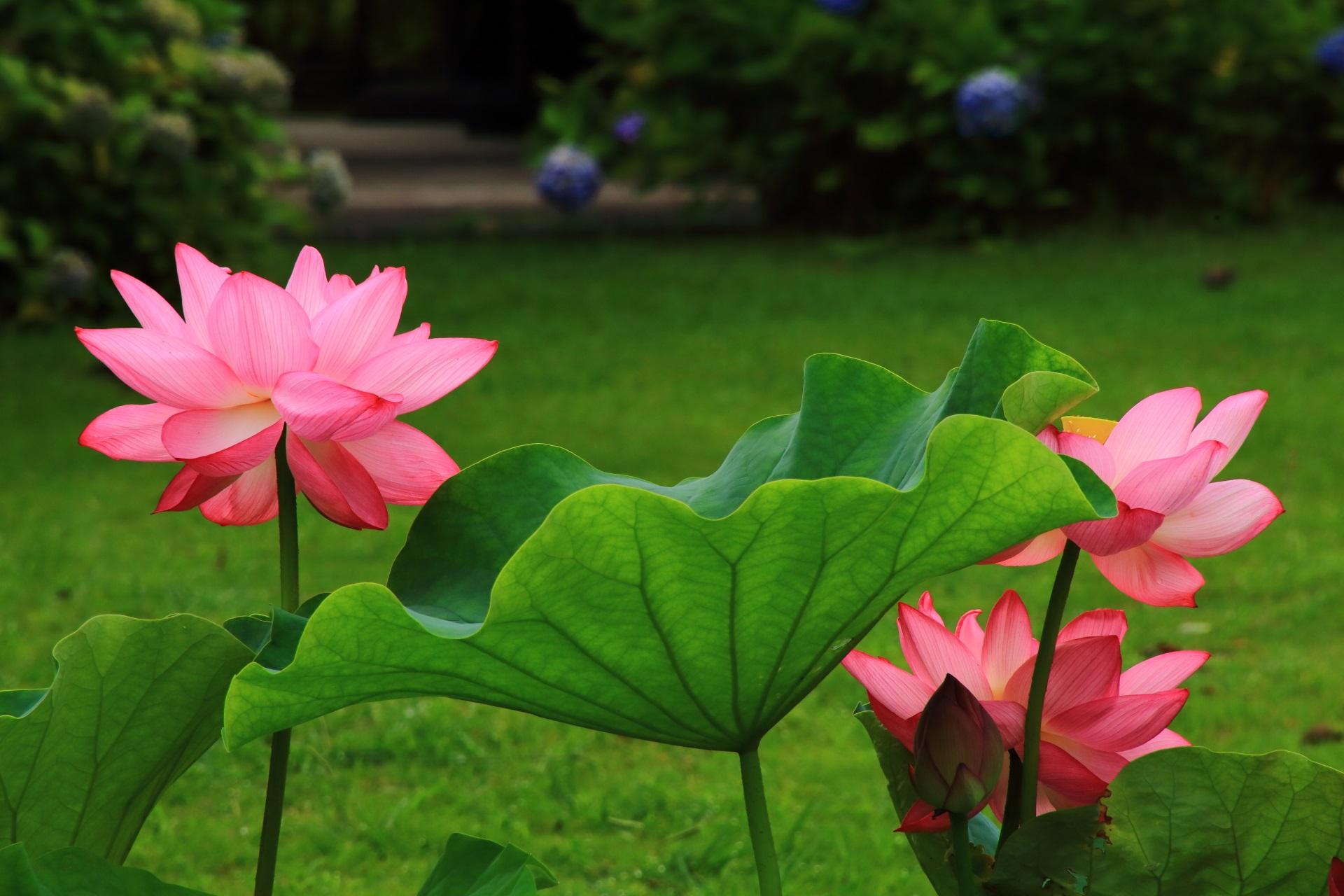 豪快に咲き誇る東寺の蓮の花