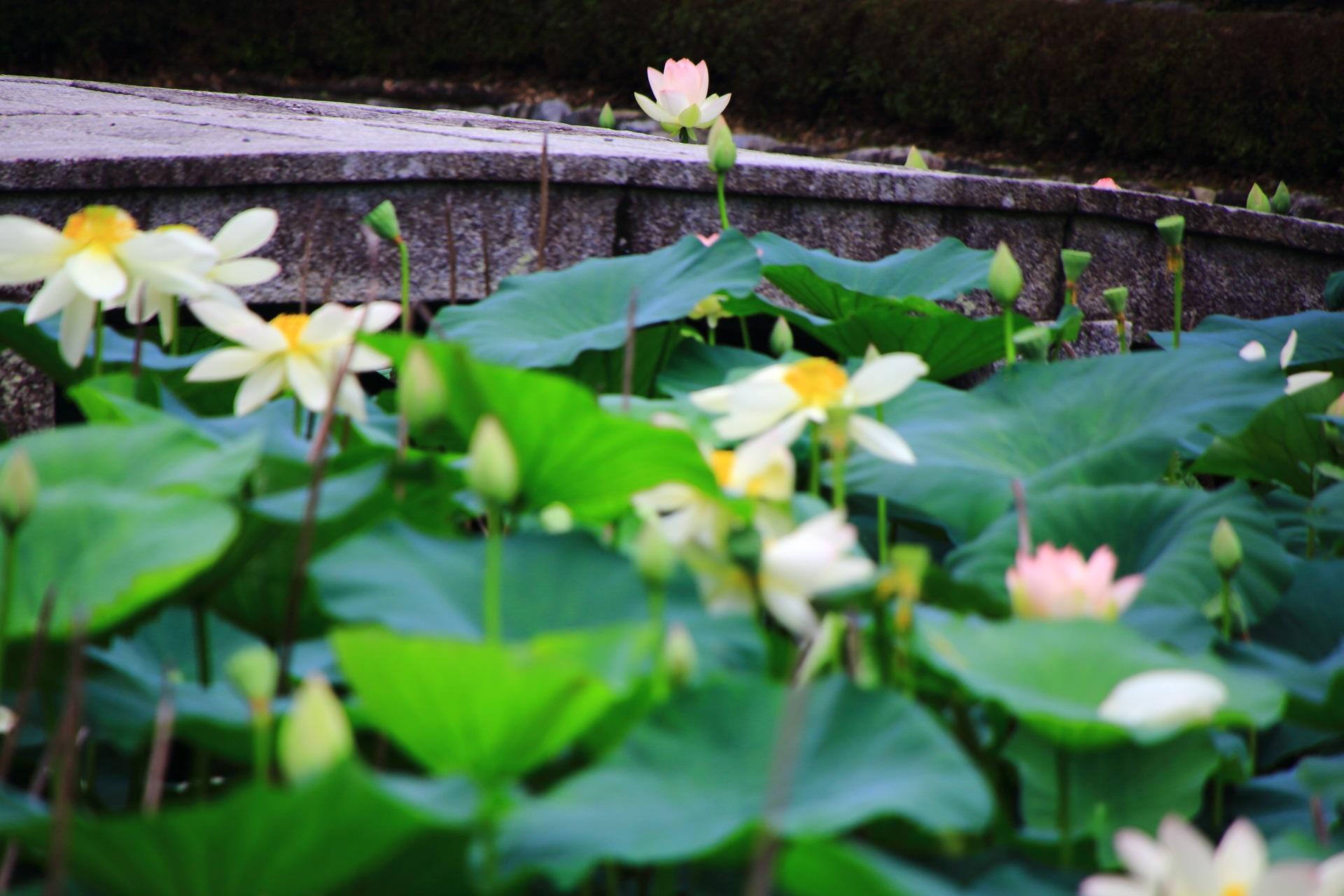 華やかさや美しさとともに風情もある東福寺の蓮の花